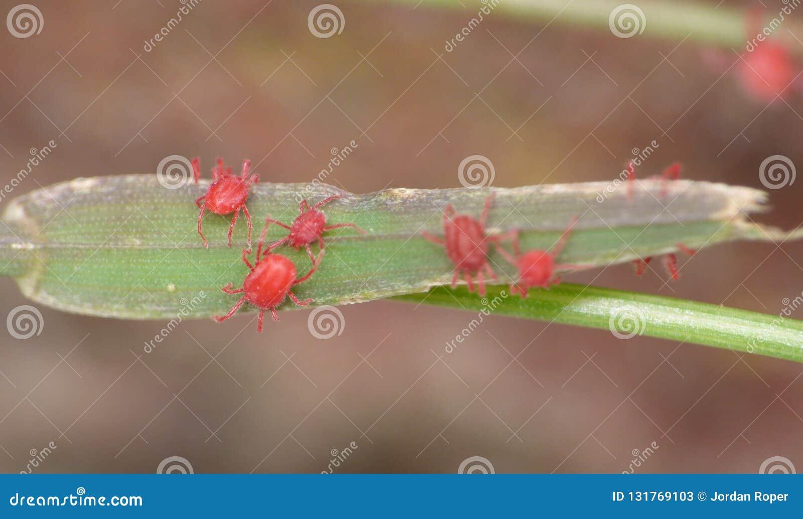 Macro close up of velvet mites blood suckers on leaf, photo taken in the UK
