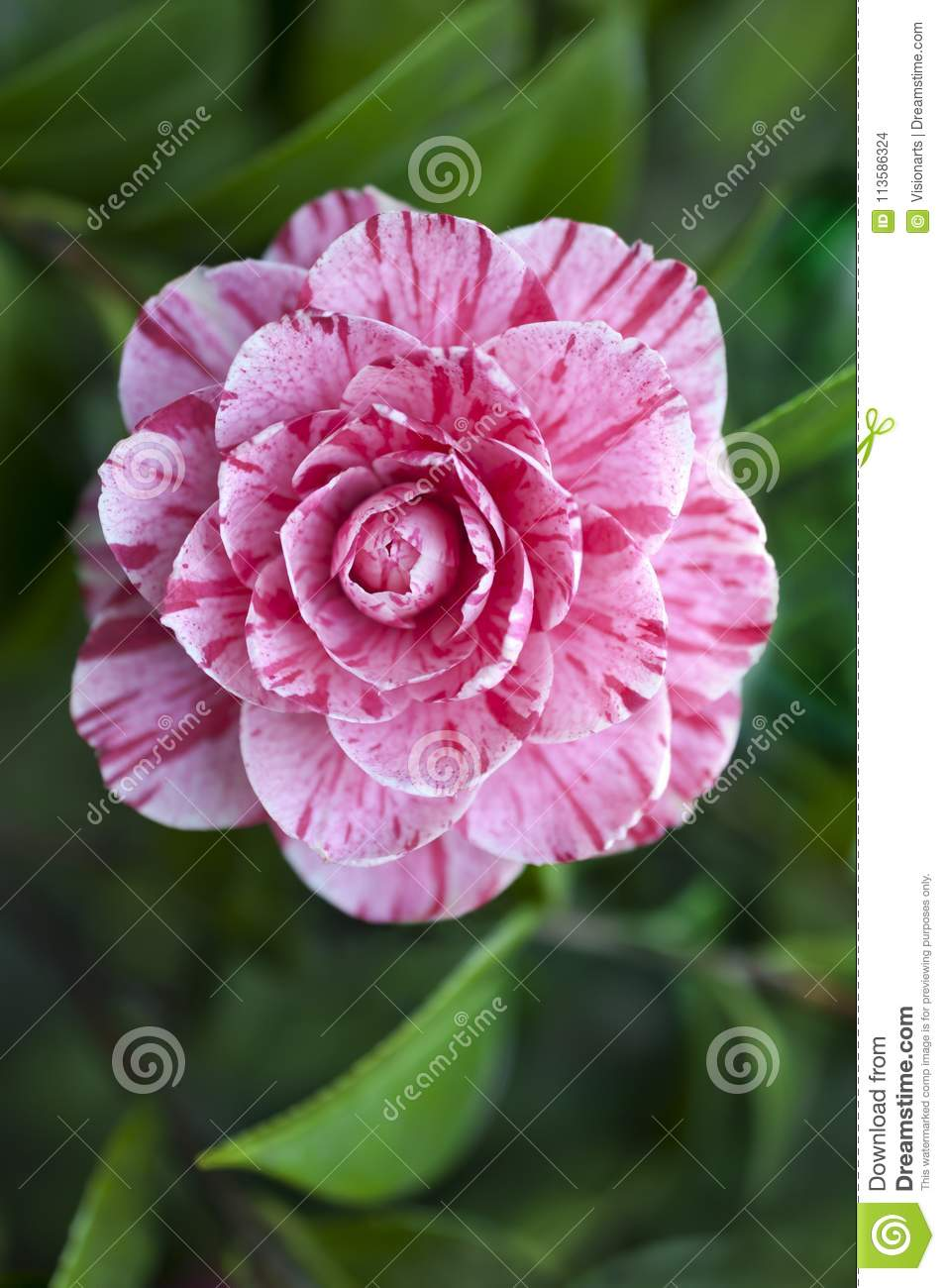Camellia Flower Variegated With Pink And White Stock Photo Image