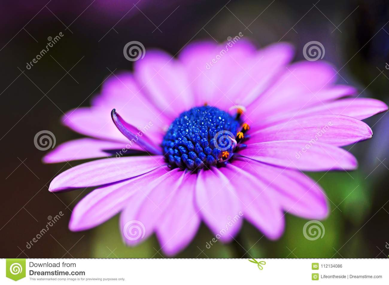 Macro close-up violet purple African Cape osteospermum daisy flower