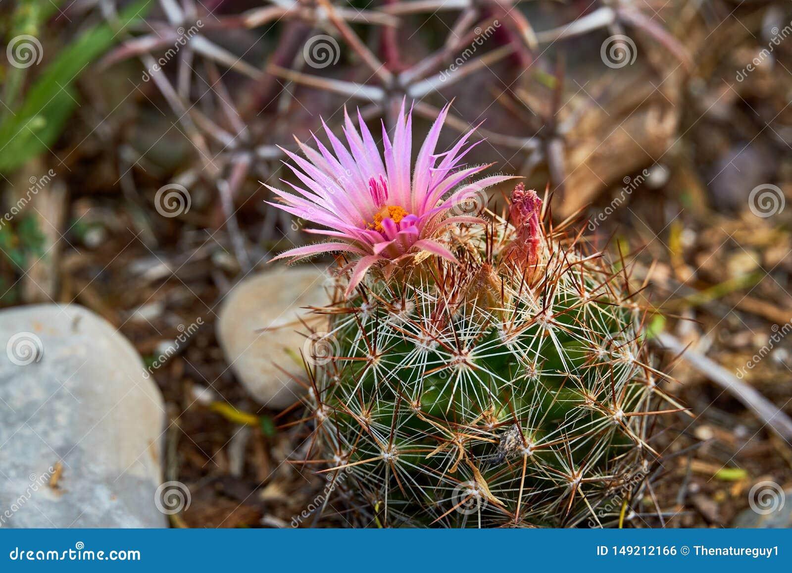 Macro Close up of Vivaparous foxtail cactus Escobaria vivipara . Texas Wildflowers