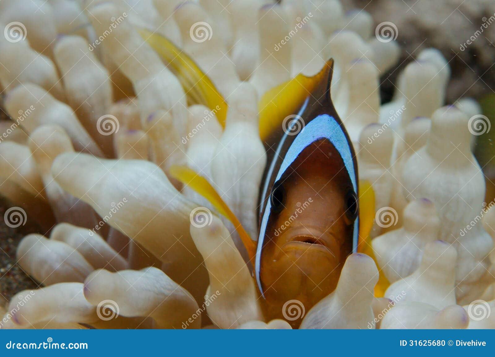 Macro of Clownfish
