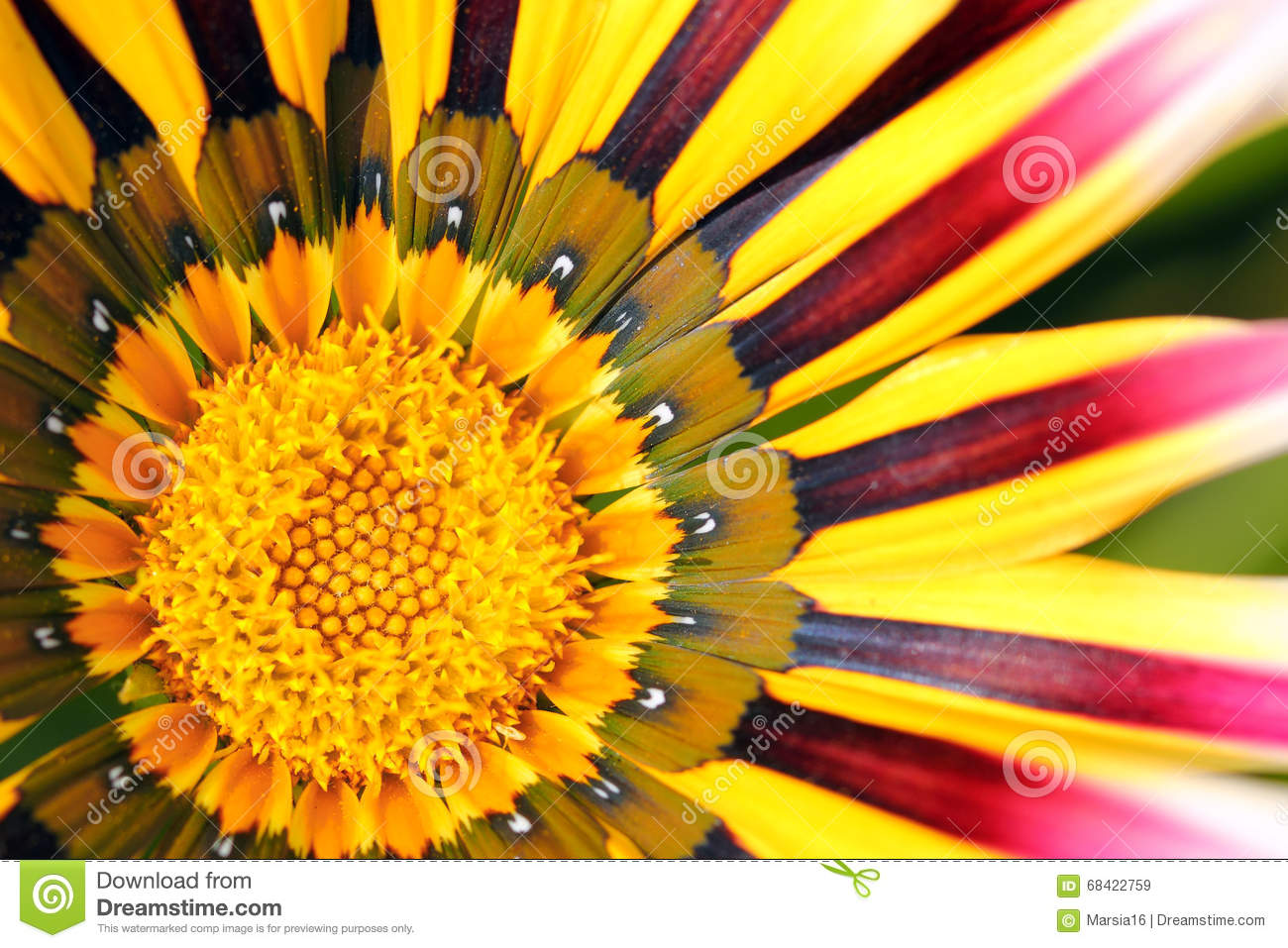 Macro of a colored coneflower