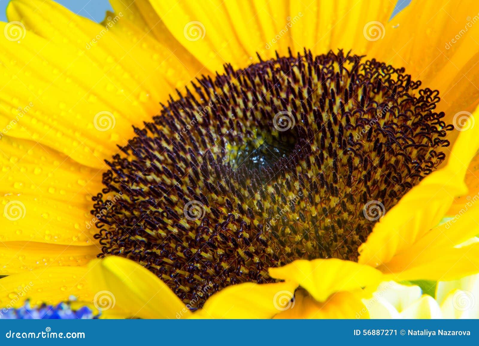 Macro colpo della fioritura gialla del girasole con le gocce di acqua
