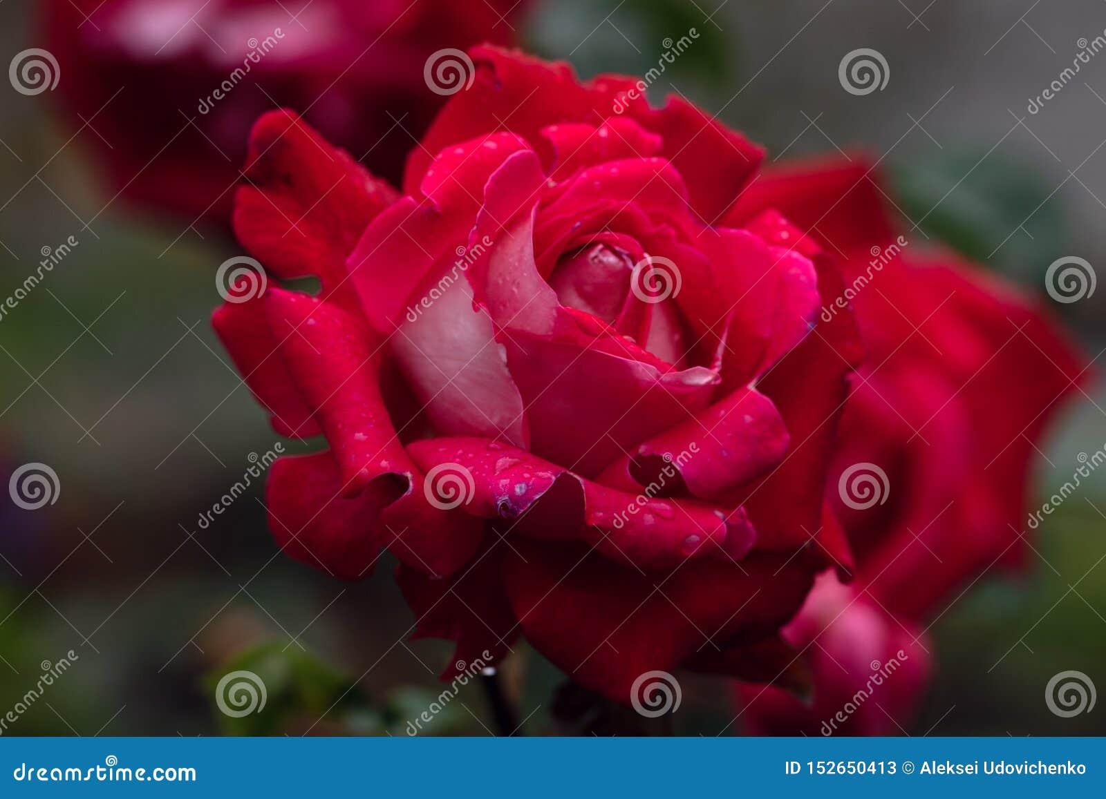 Macro colpo della rosa rossa nel fuoco molle