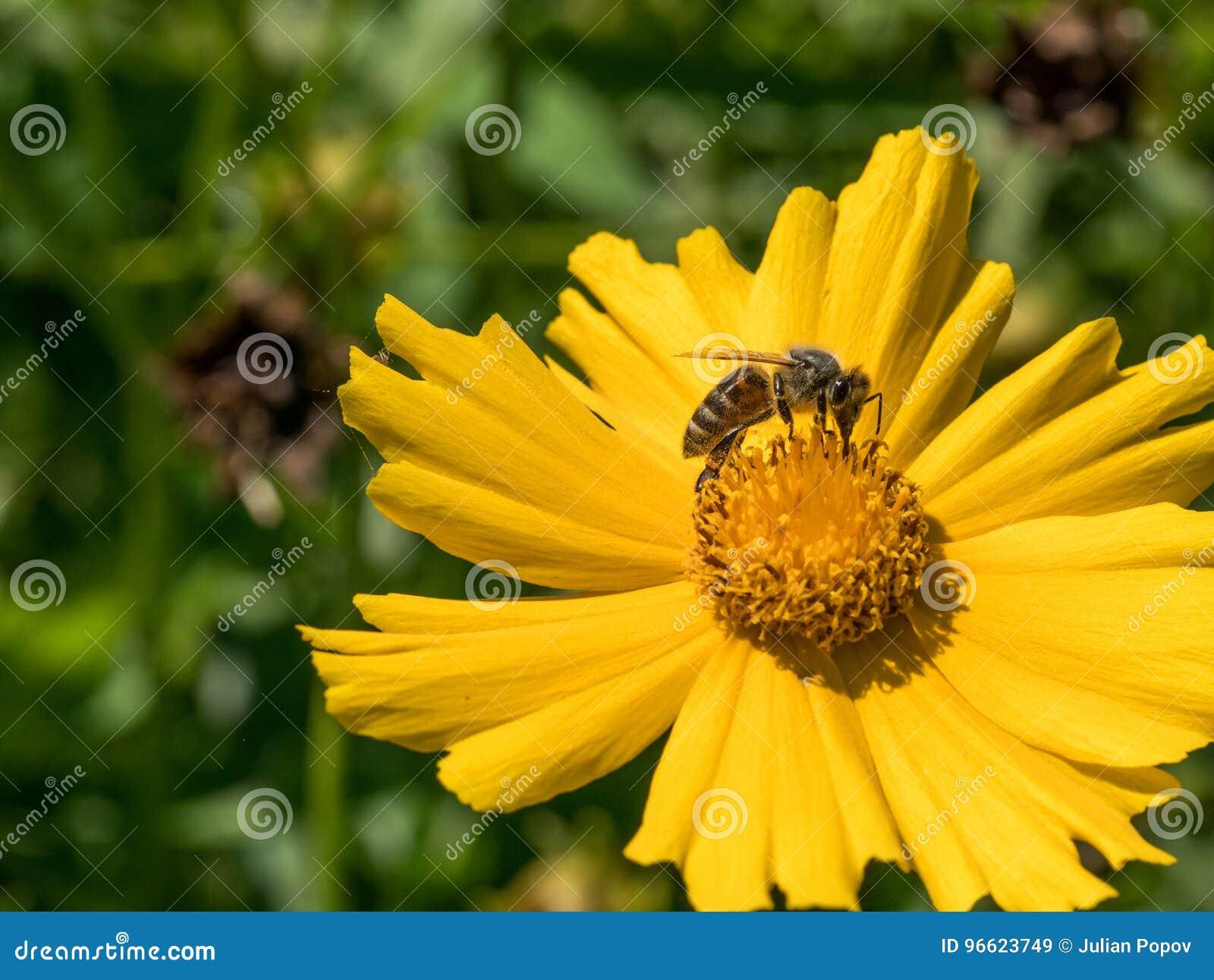 Macro colpo di un ape che si siede sul fiore giallo della margherita