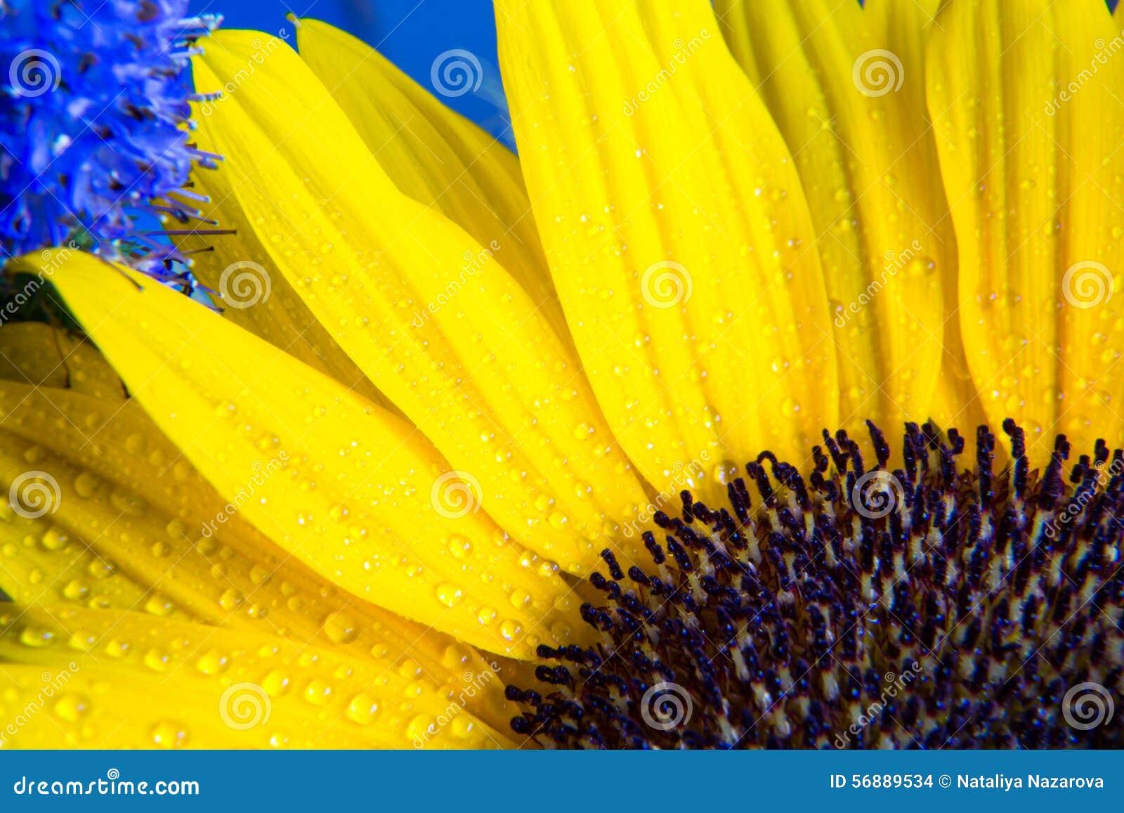 Macro colpo variopinto della fioritura gialla del girasole con le gocce di acqua