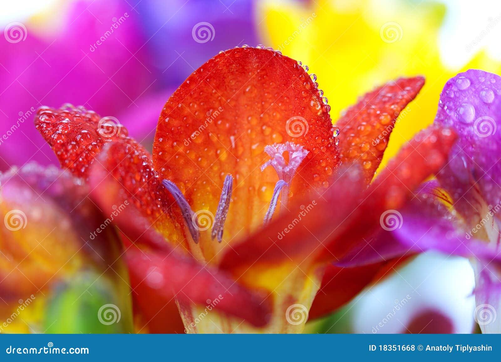 Macro crocus flowers