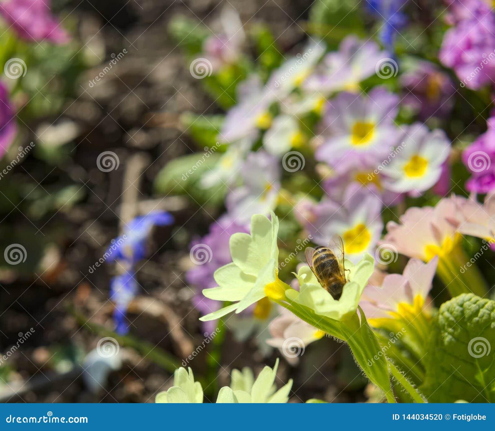 Macro d abeille de miel