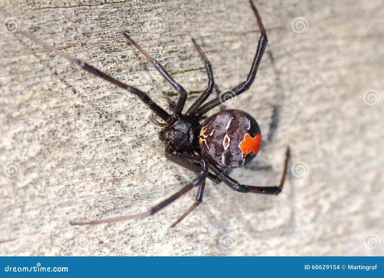 Macro d 39 araign e de redback photo stock image 60629154 for Araignee de maison