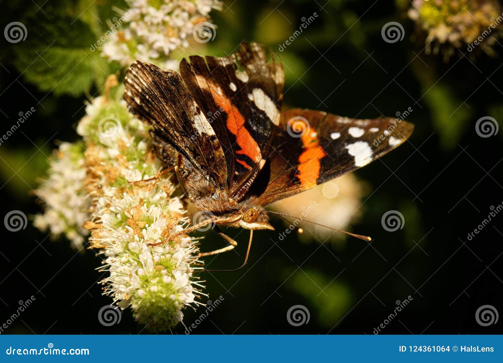 Macro da borboleta de monarca