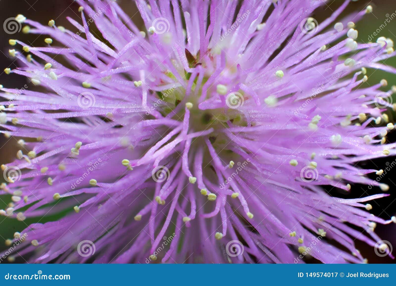 Macro da flor de floresc?ncia do pudica da mimosa