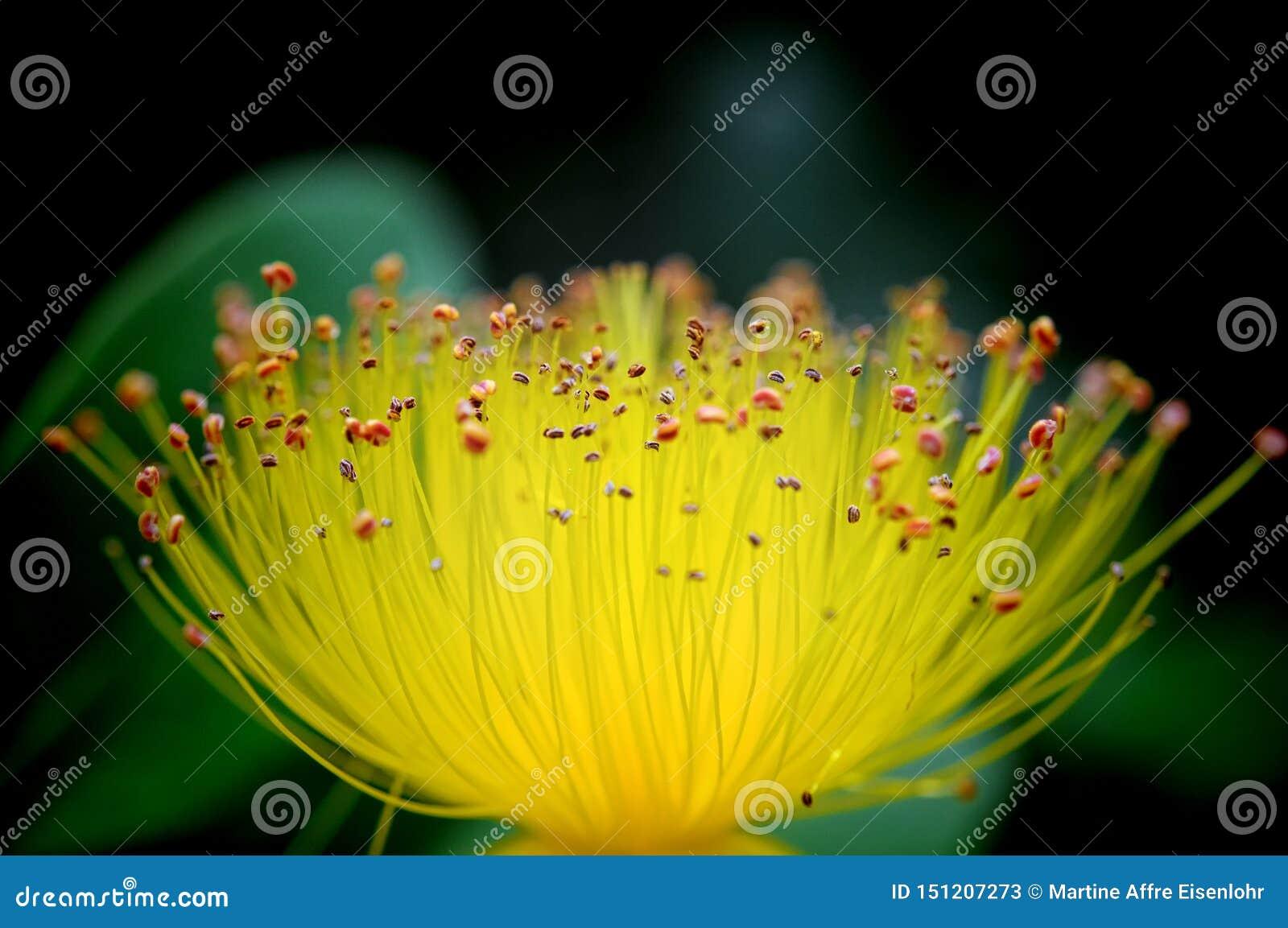 Macro da flor do wort de St John que mostra os estames incontáveis