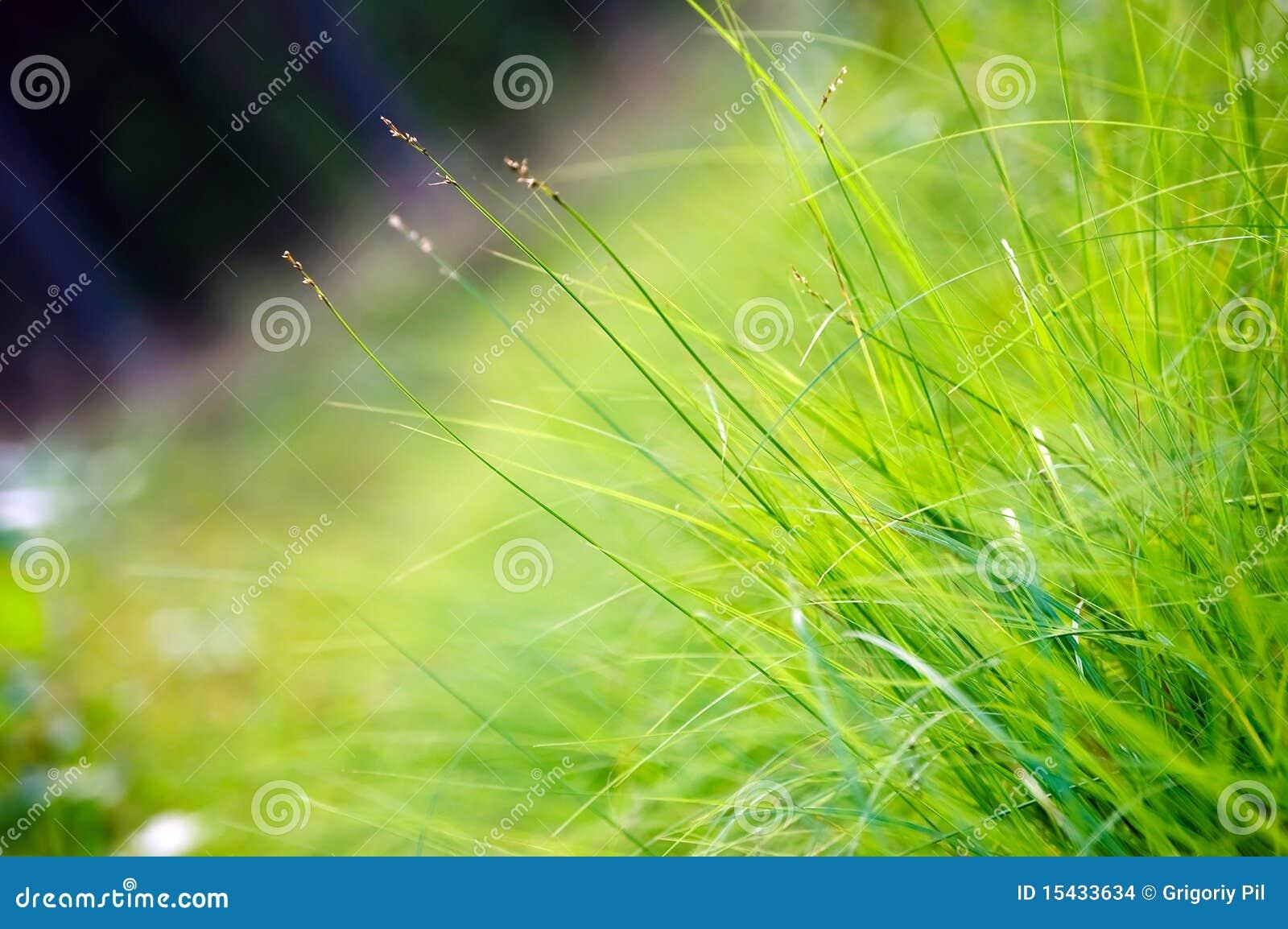 Macro da grama verde