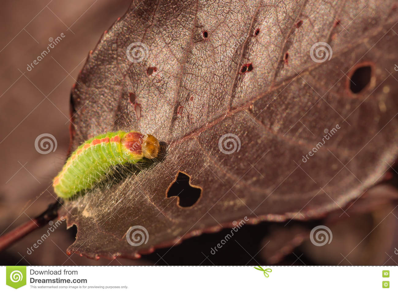 Macro of Dagger Moth Caterpillar