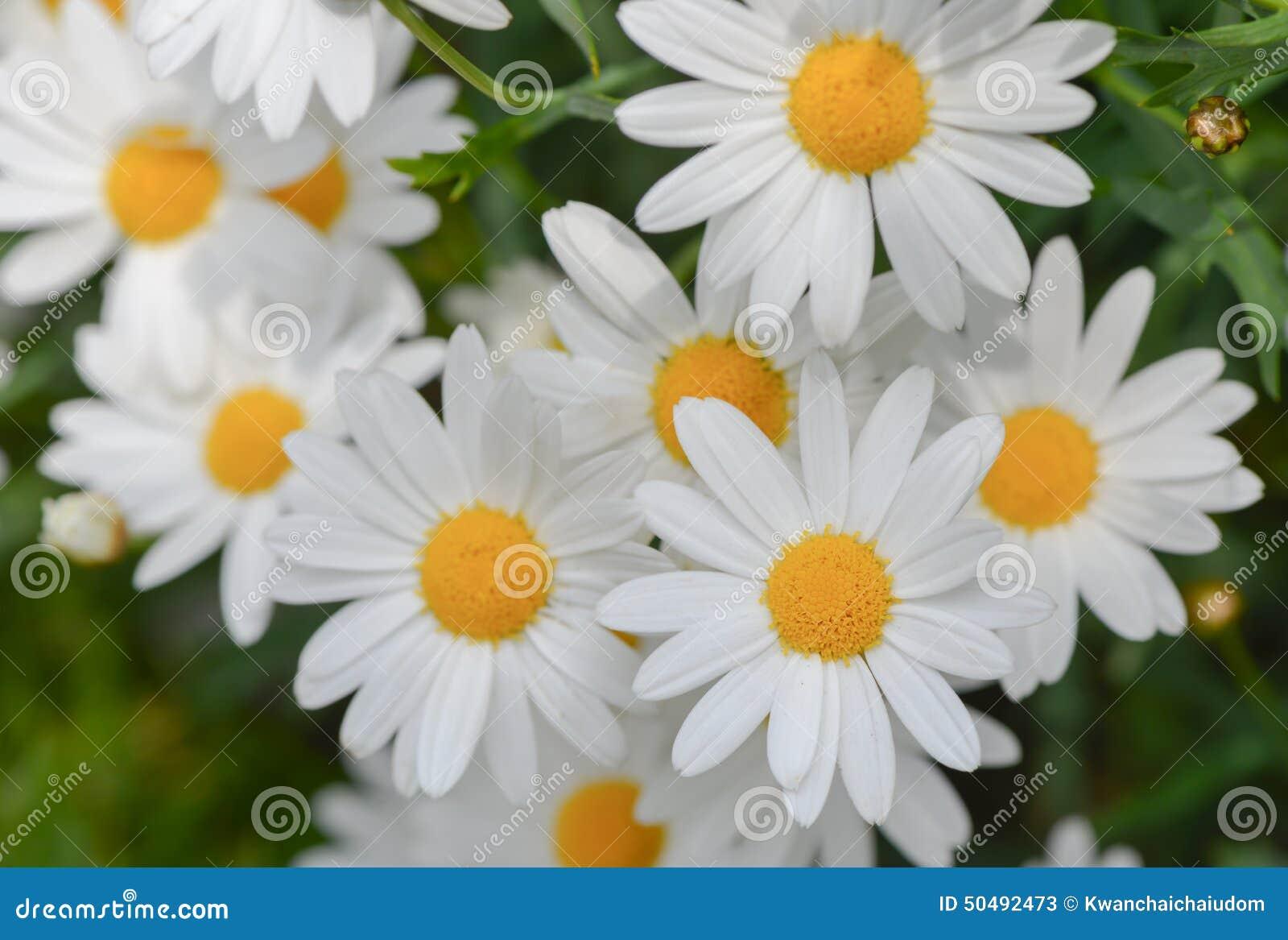 Macro de belles fleurs de marguerites blanches image stock - Image fleur marguerite ...