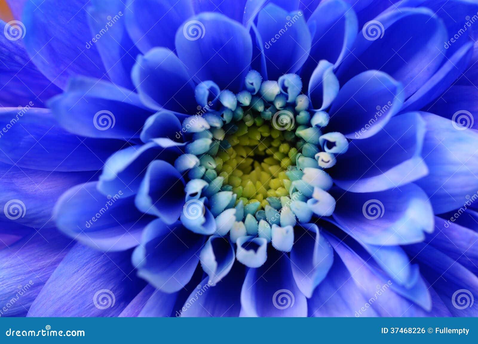 Macro de fleur bleue d aster