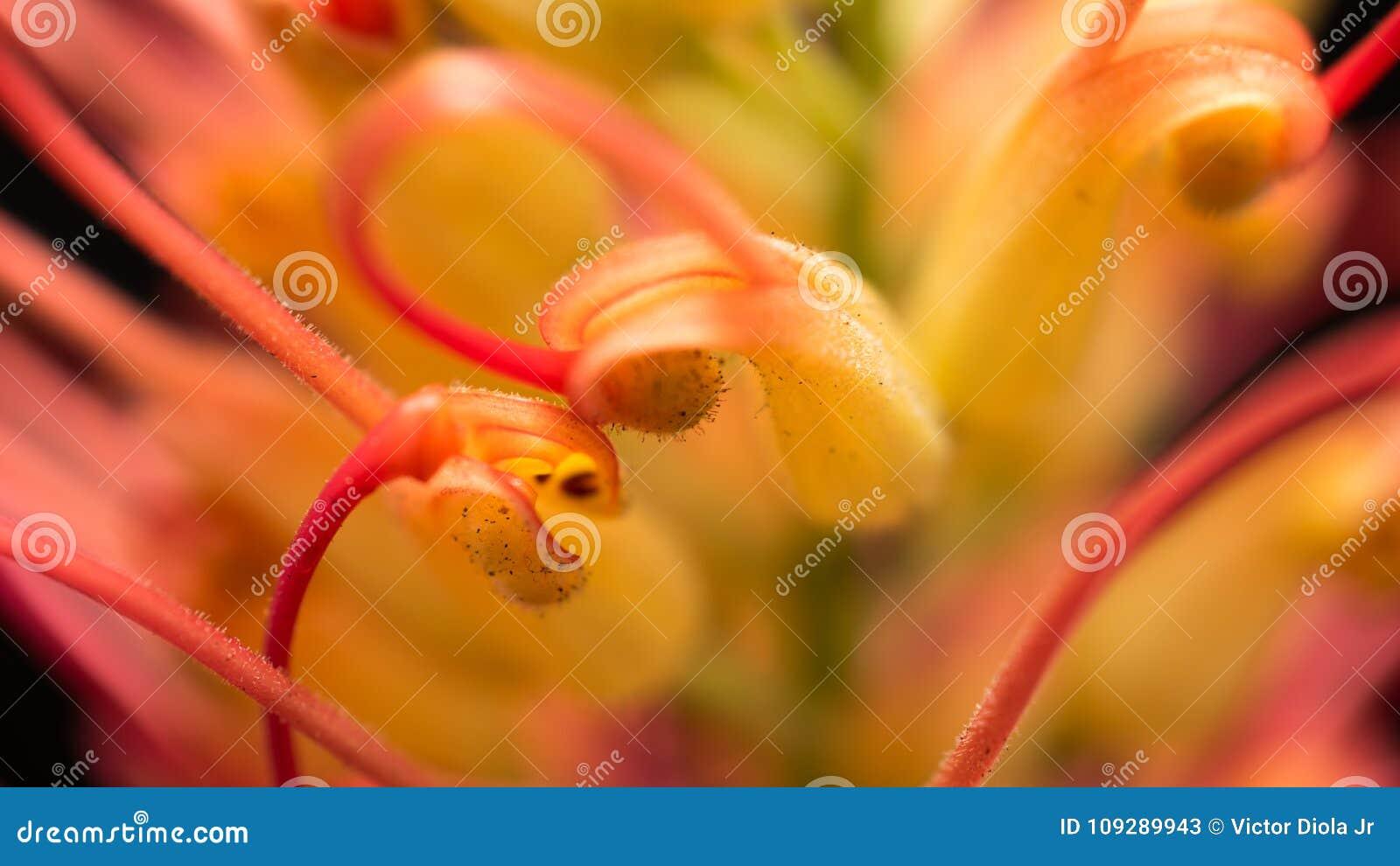 Macro De Fleur De Chene Soyeux Image Stock Image Du Guinee