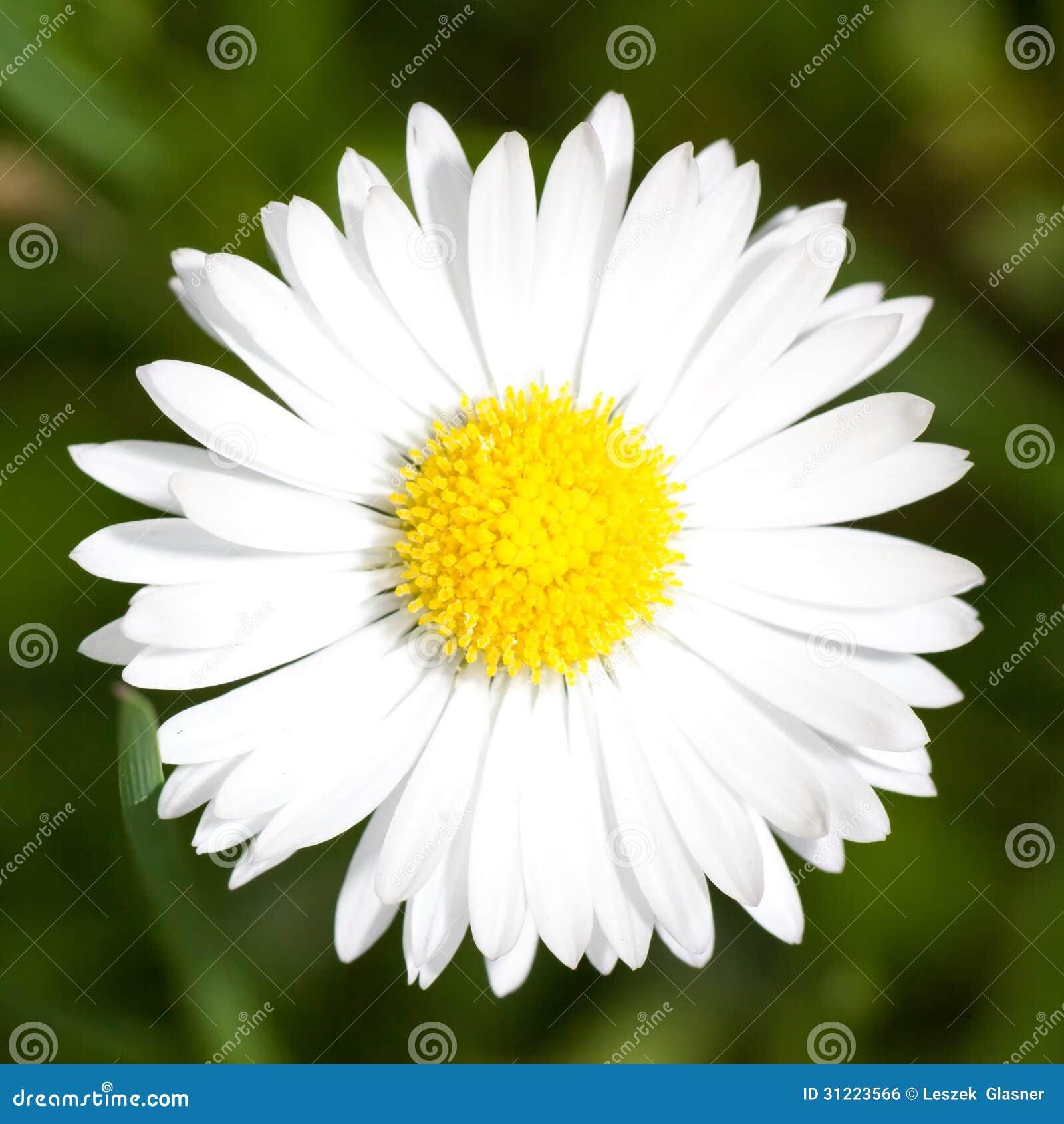 Macro de fleur de marguerite daisy image libre de droits - Image fleur marguerite ...