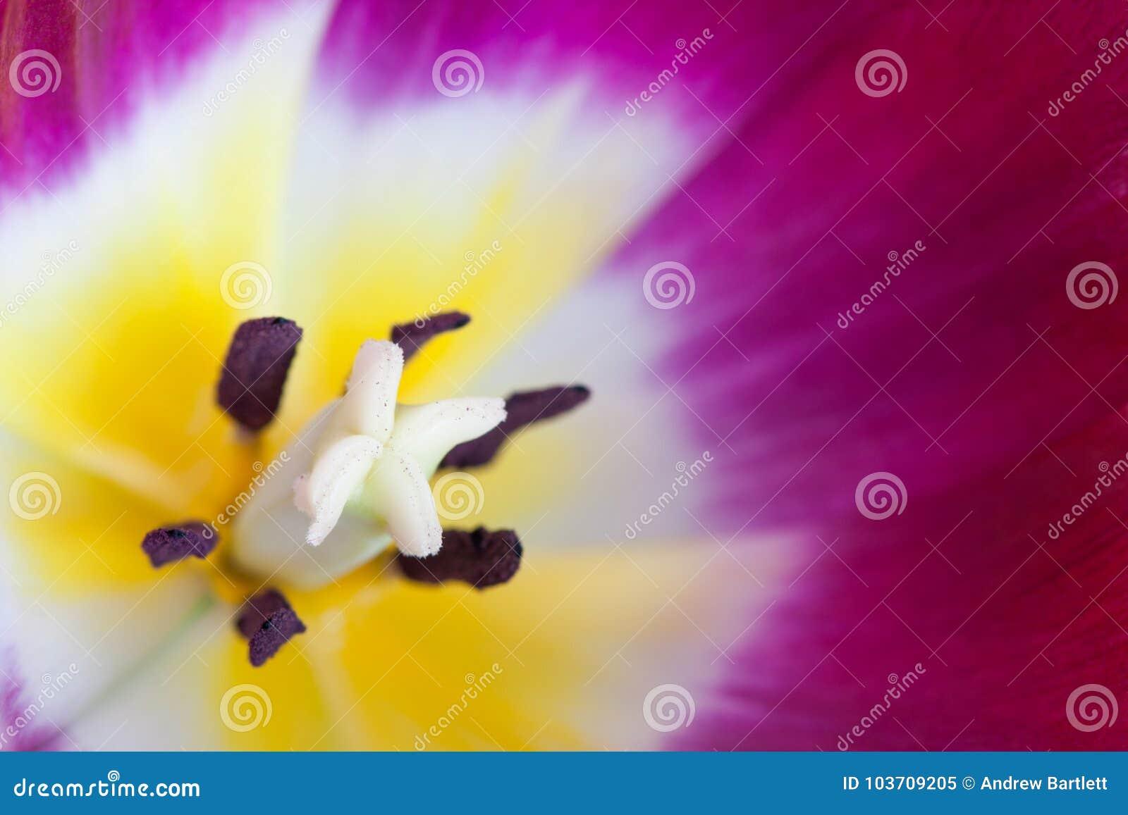Macro de la flor roja del tulipán