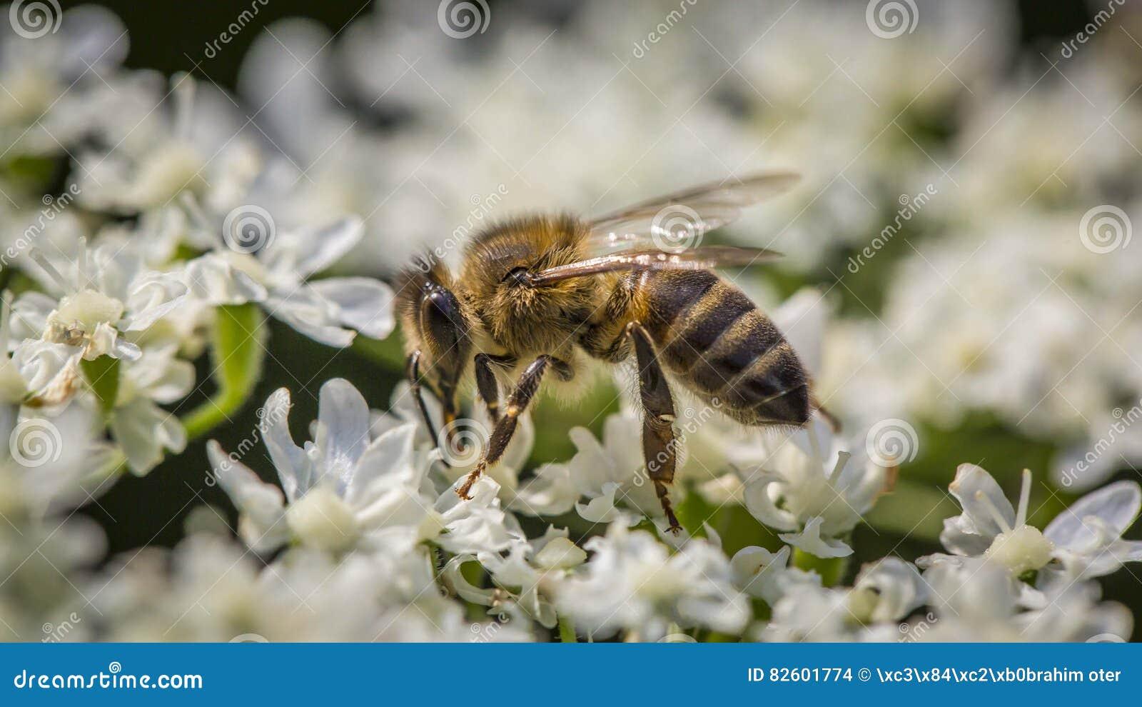 Macro de la flor y de la abeja