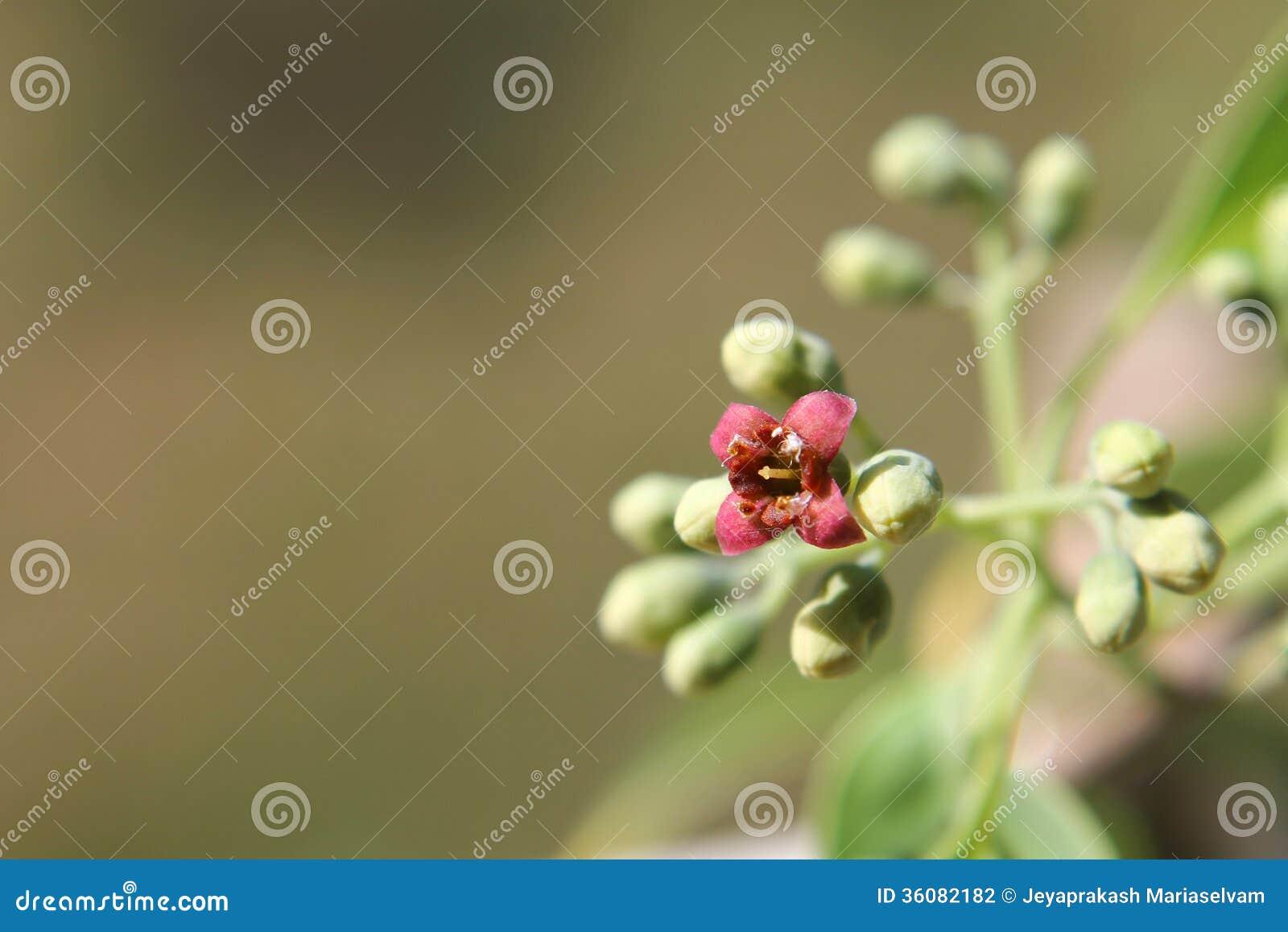 Macro de la inflorescencia del álbum del Santalum, árbol indio de madera de la sandalia