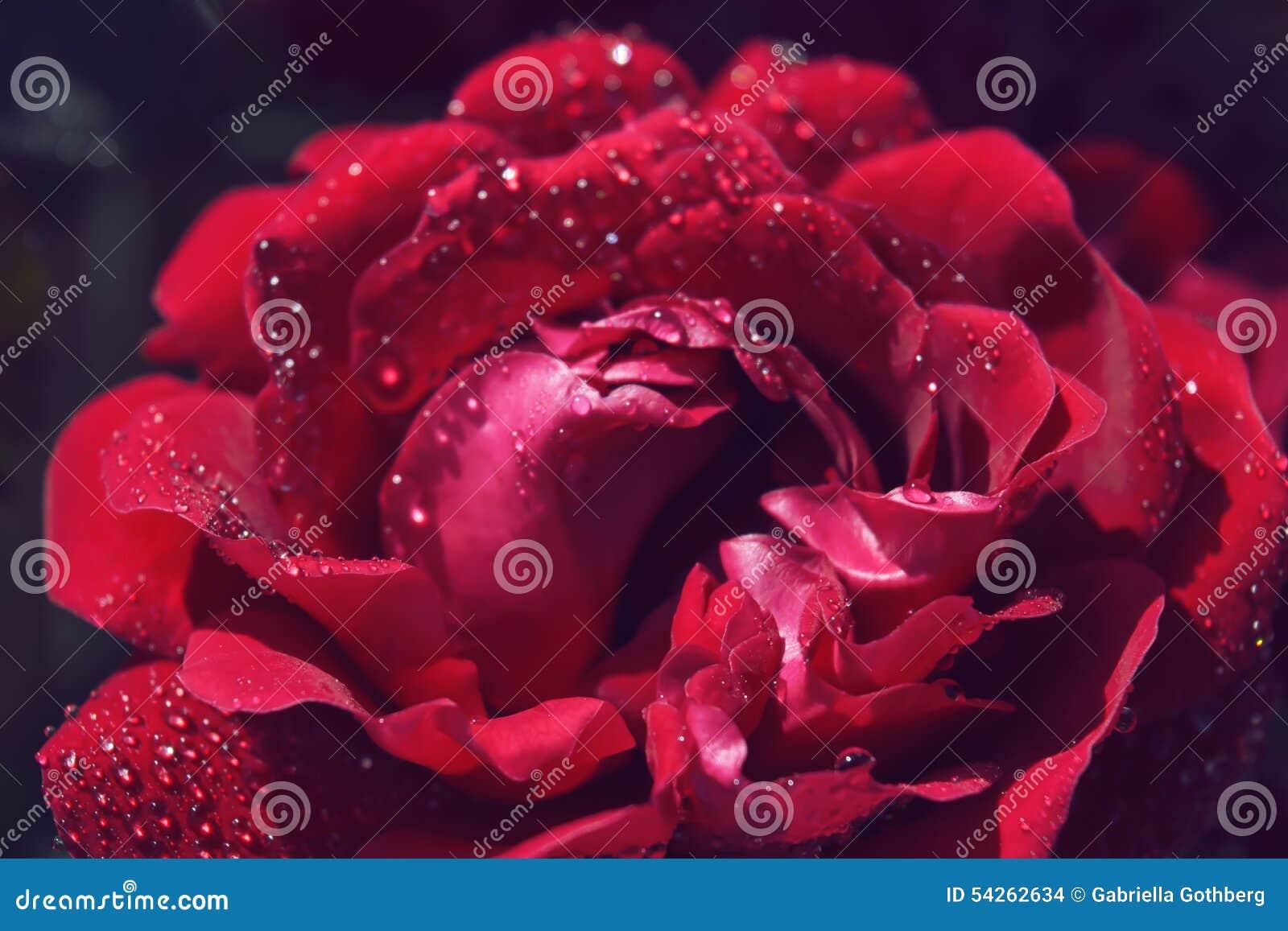Macro de la rosa del rojo con las gotas de agua nacaradas