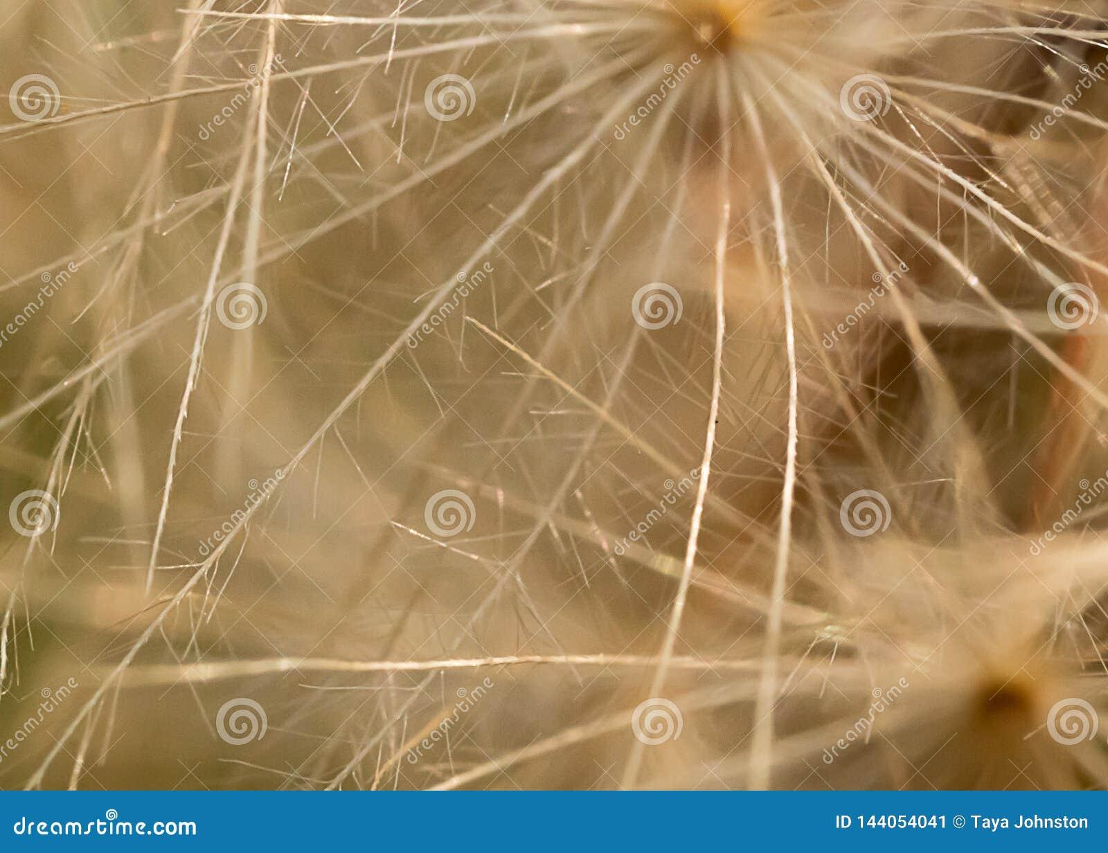 Macro de la semilla del diente de león patern en blanco