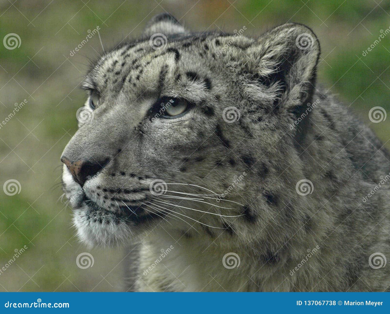 Macro de la tête d un léopard de neige