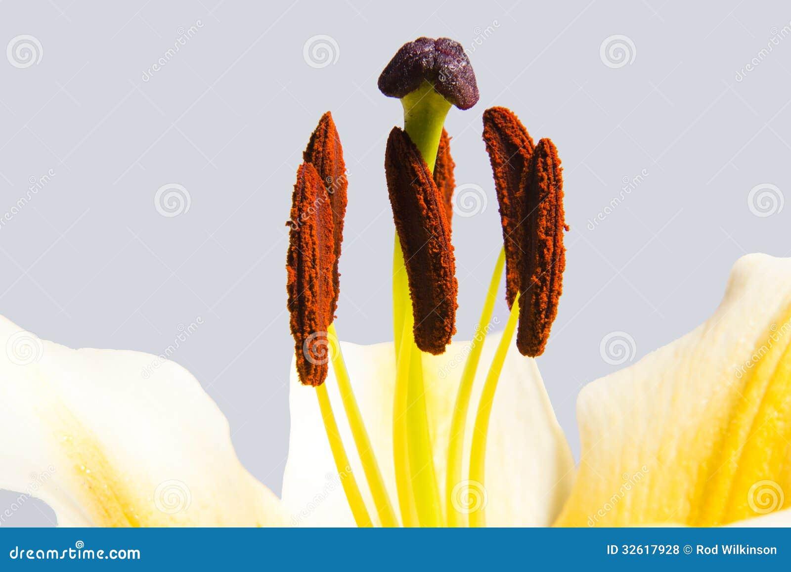 Macro de lis de trompette jaune