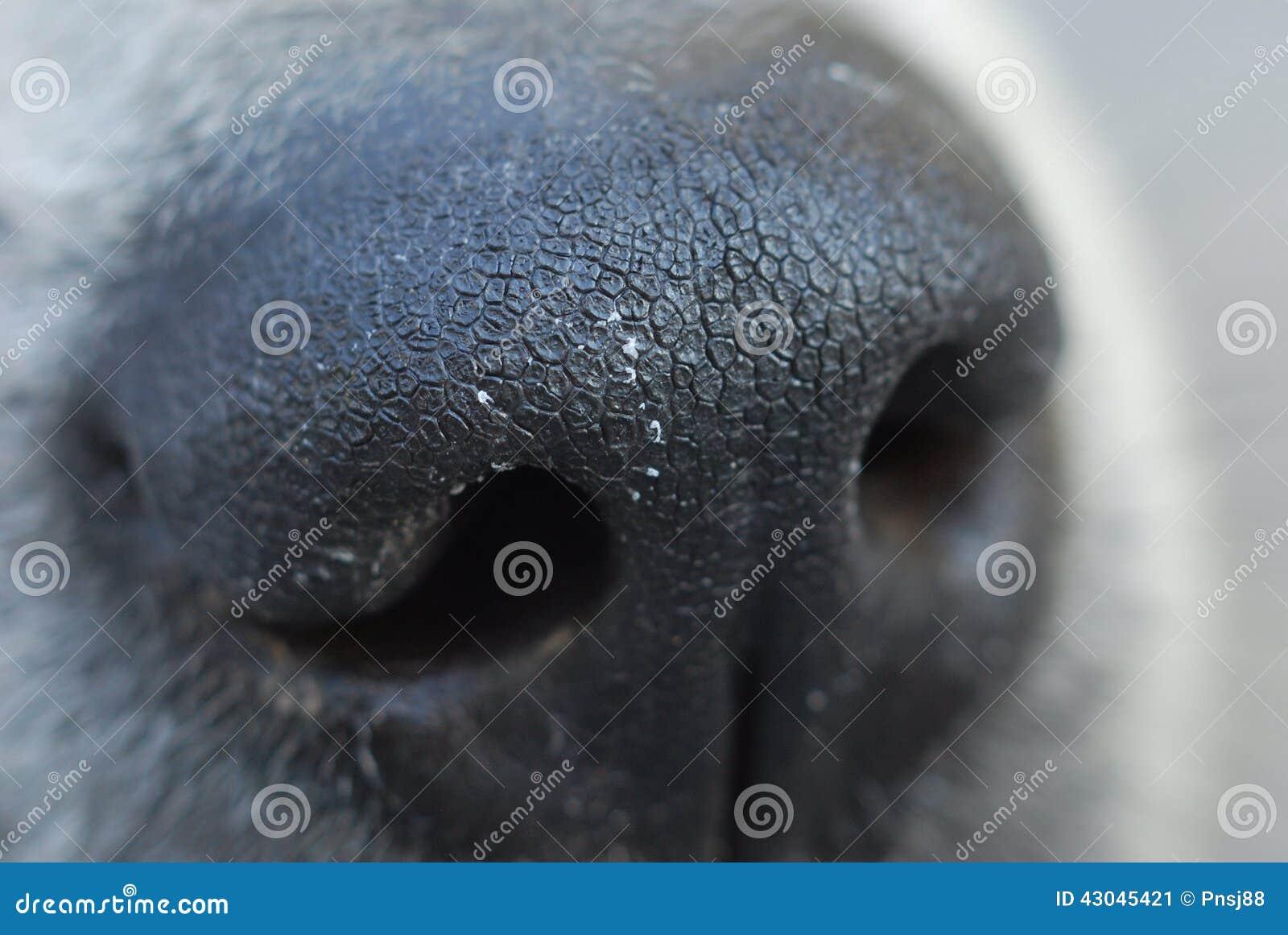 Macro de nez de chien photo stock image 43045421 for Interieur nez sec