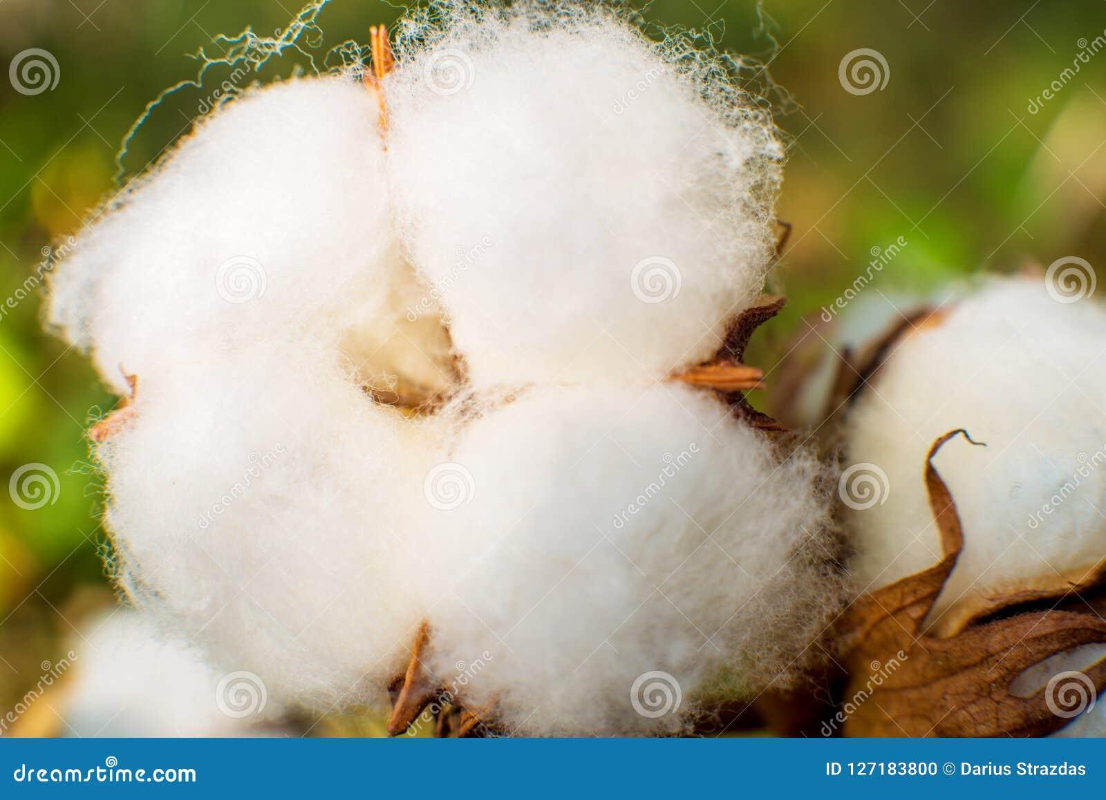 Macro de plan rapproché de coton
