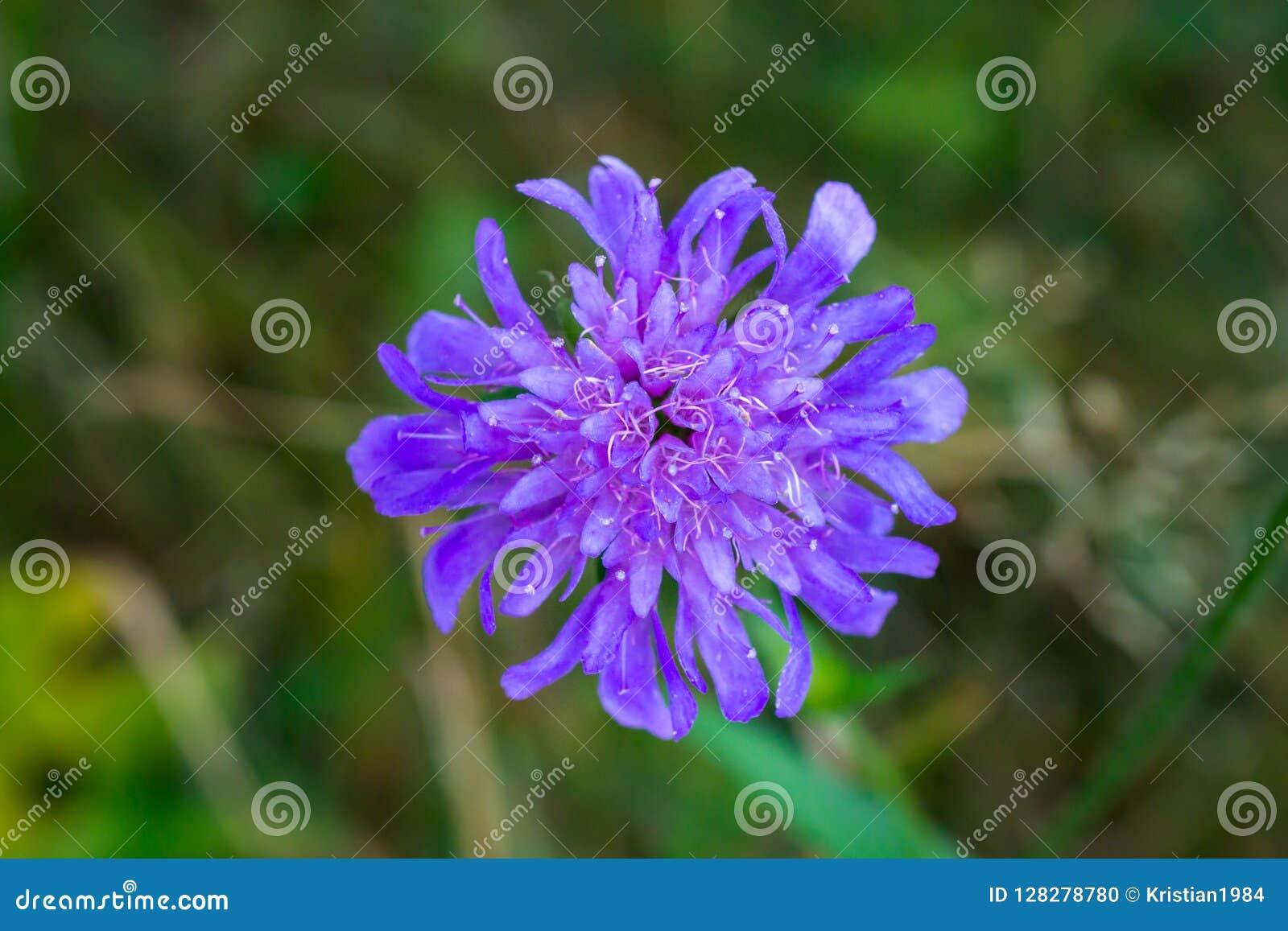Macro de um scabiosa roxo pequeno na flor completa