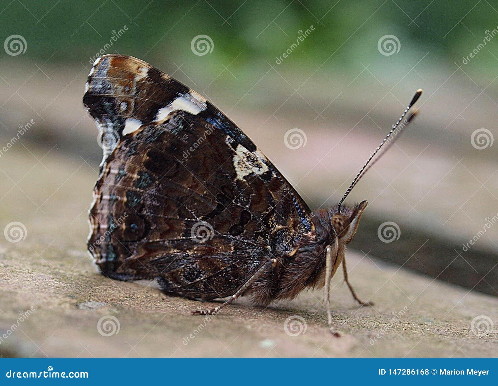 Macro de uma borboleta bonita do almirante