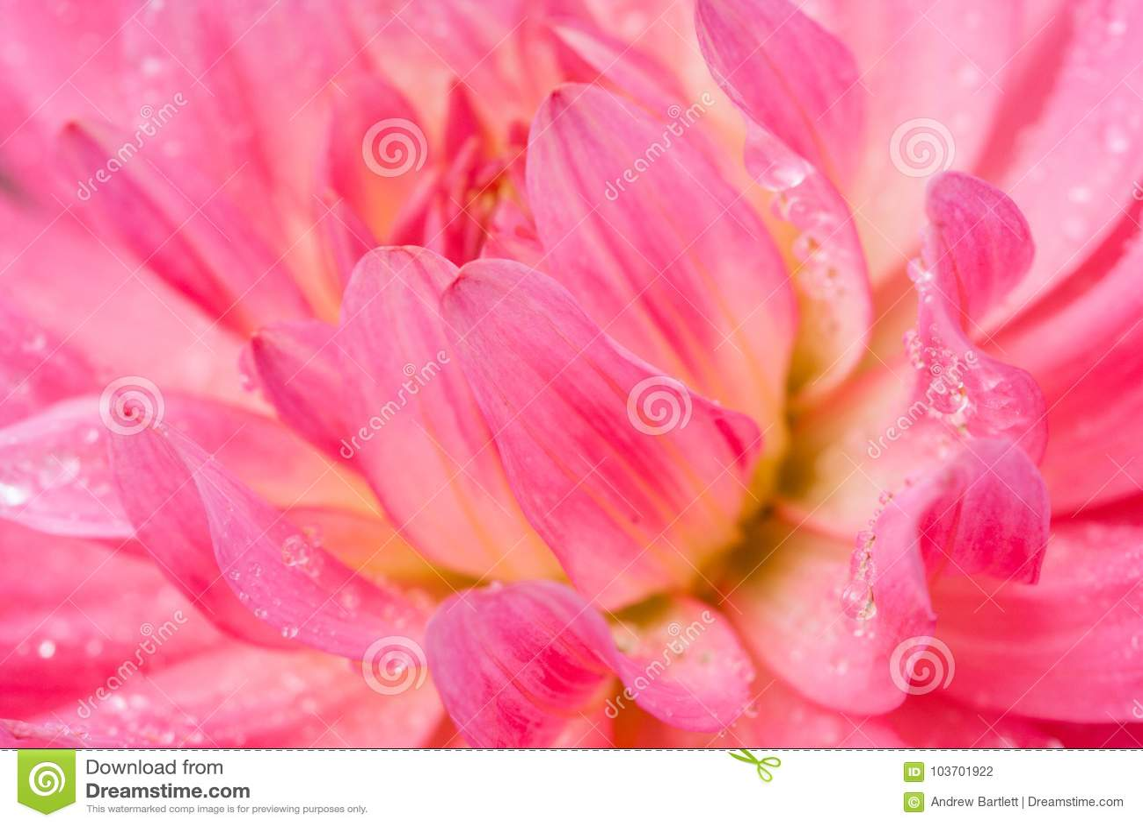 Macro de un crisantemo rosado