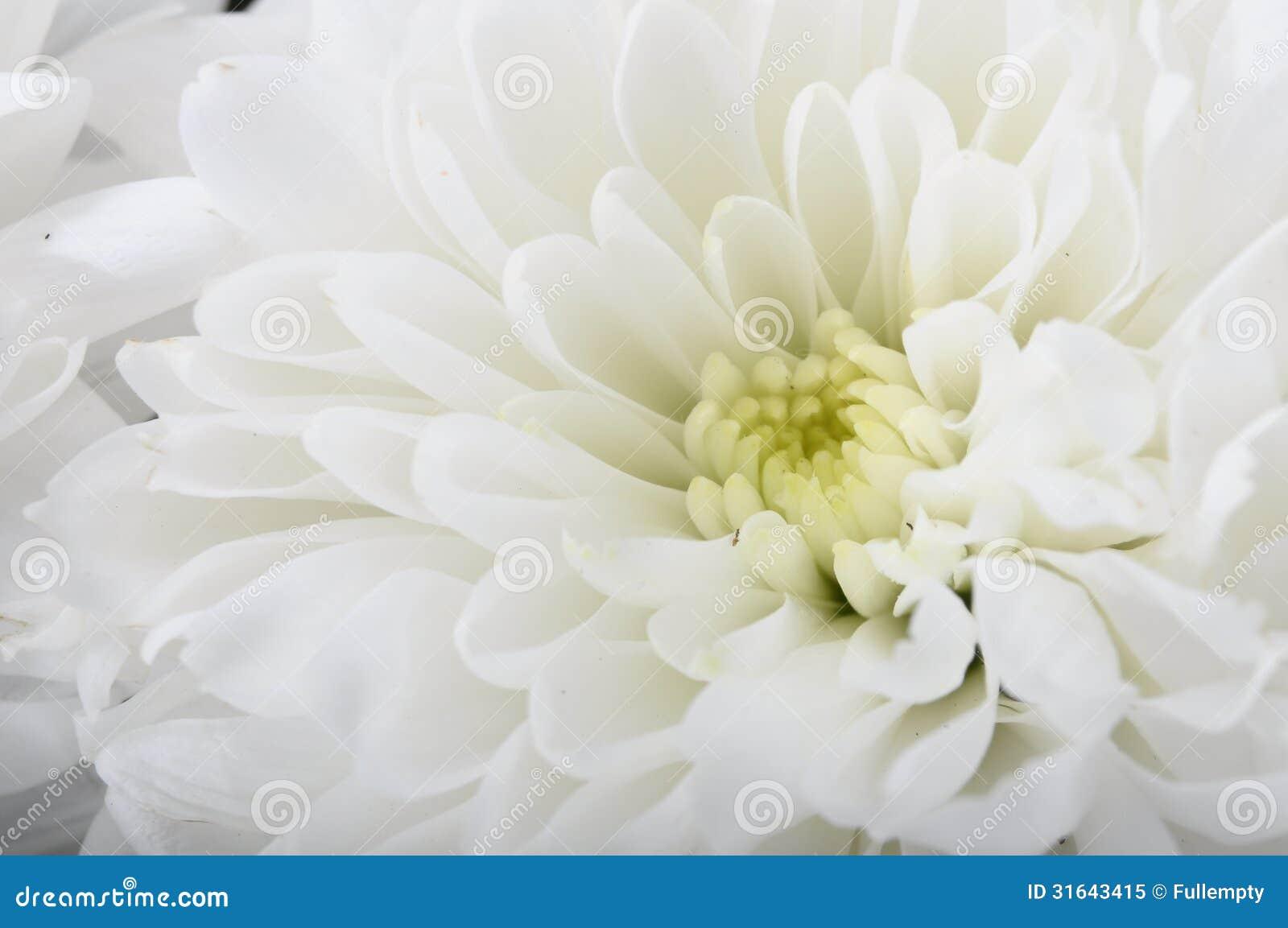 Macro del aster de la flor blanca