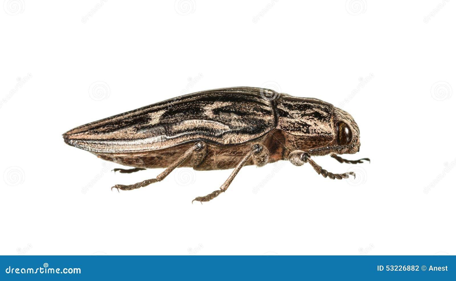 Macro del escarabajo del perforador