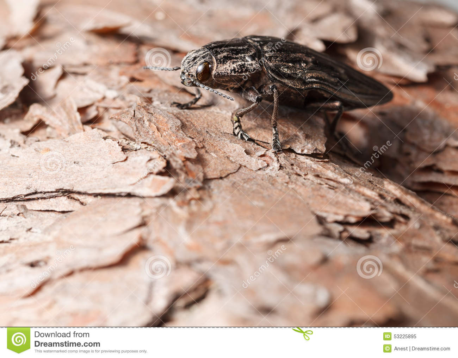 Macro del escarabajo del perforador en árbol de pino
