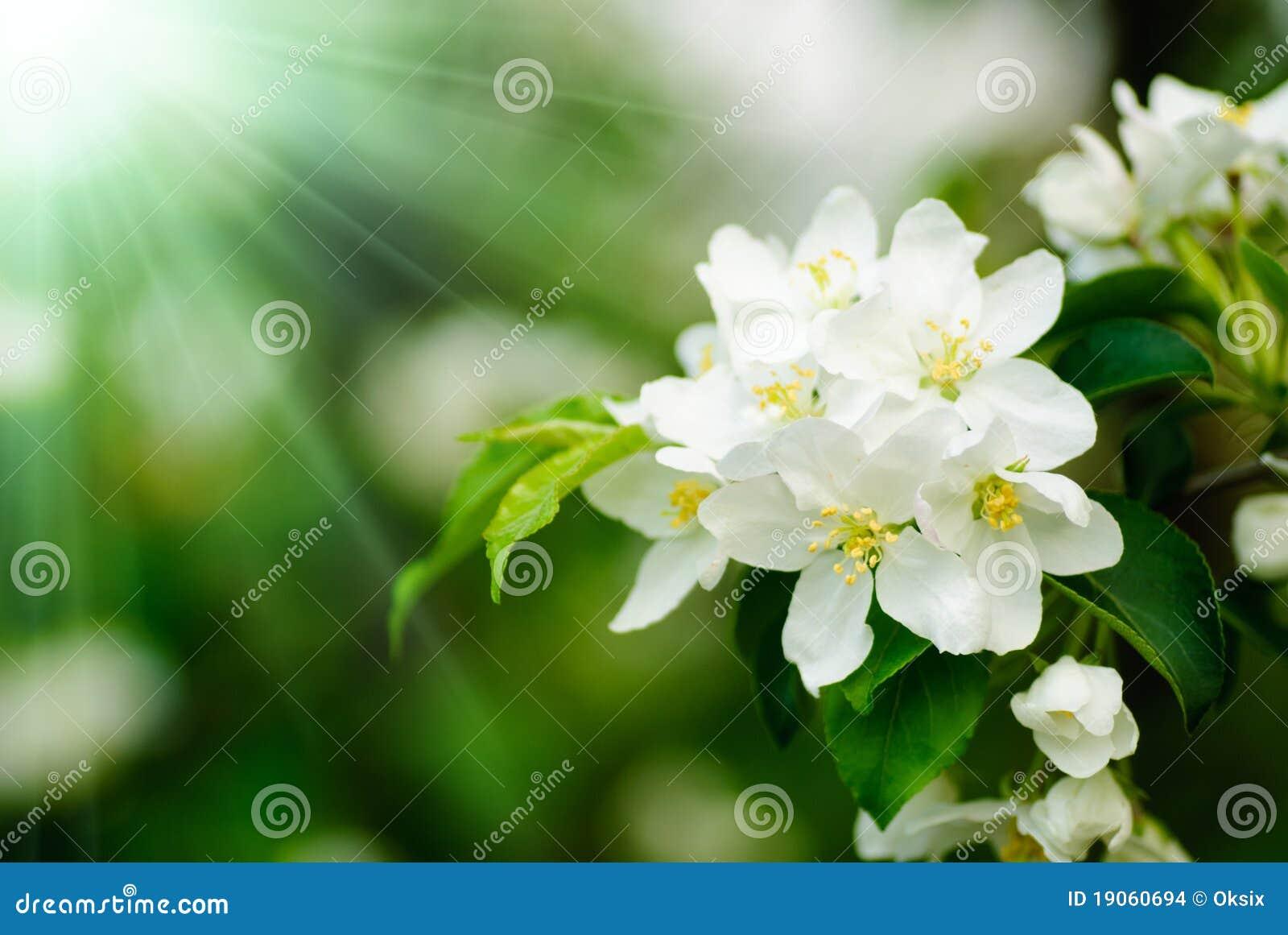 Macro del flor del rbol de membrillo imagenes de archivo - Arbol de membrillo ...