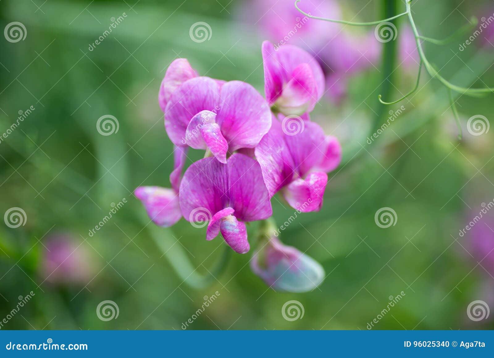 Macro del foco selectivo de la flor del guisante de olor