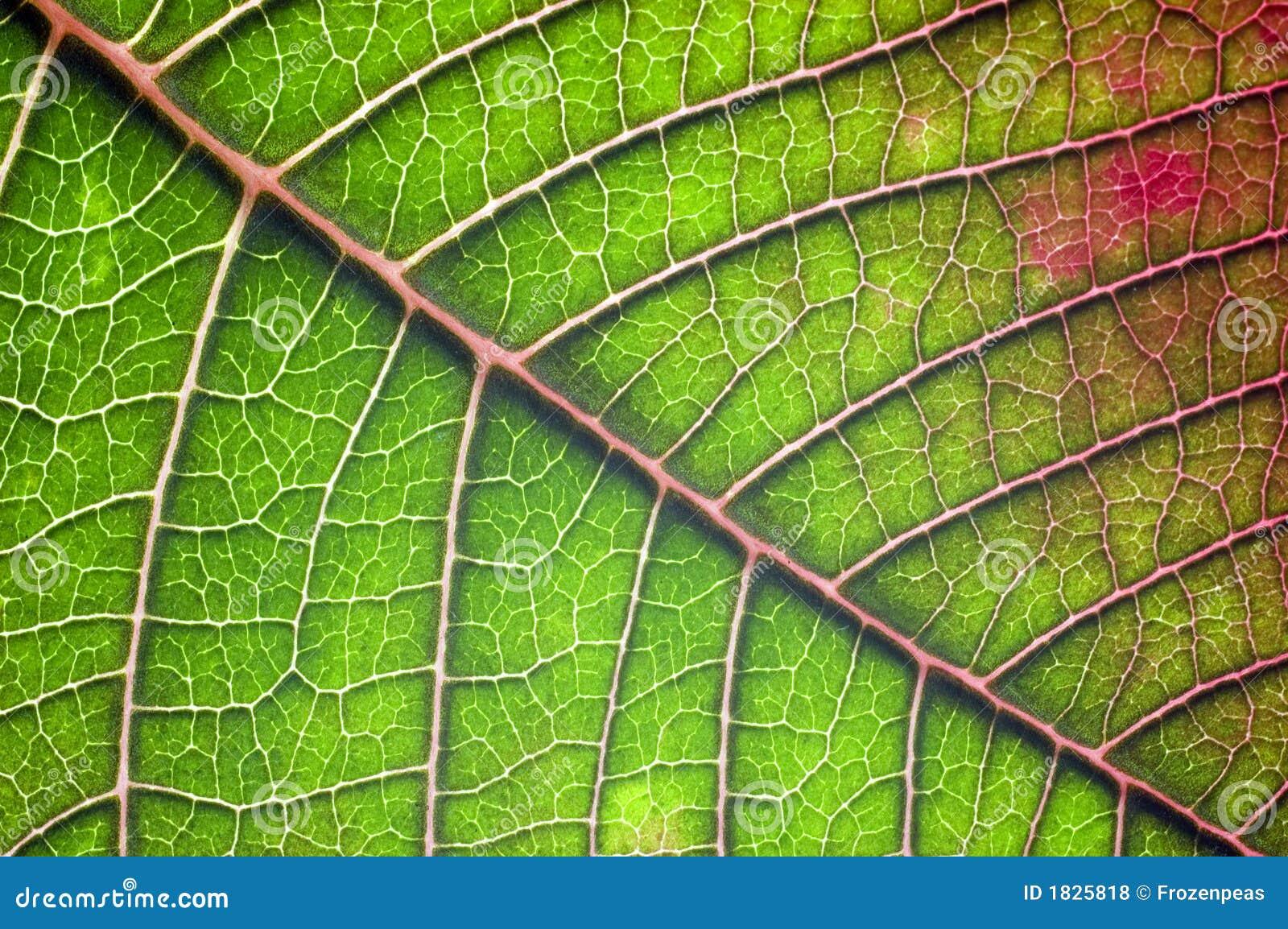 Macro del foglio del Poinsettia.