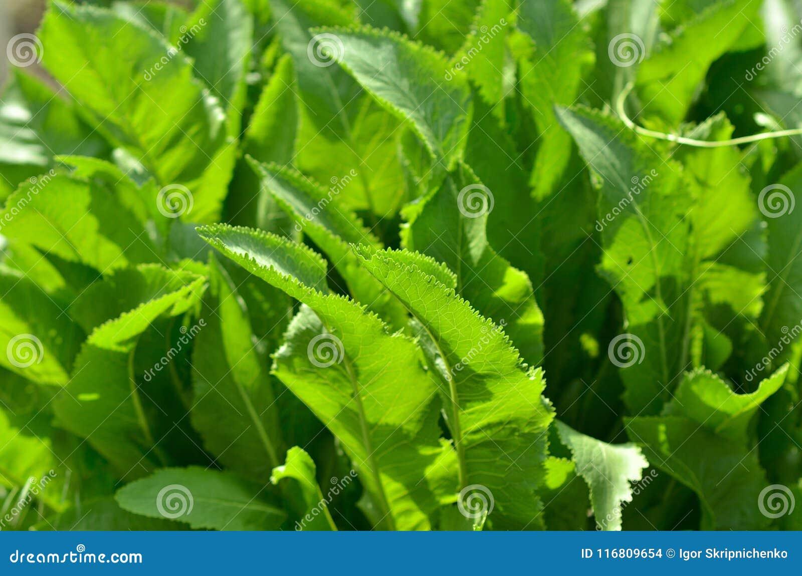 Macro del fondo di struttura delle foglie verdi, grandi foglie