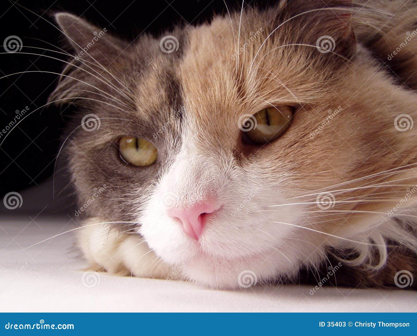 Macro del fronte del gatto