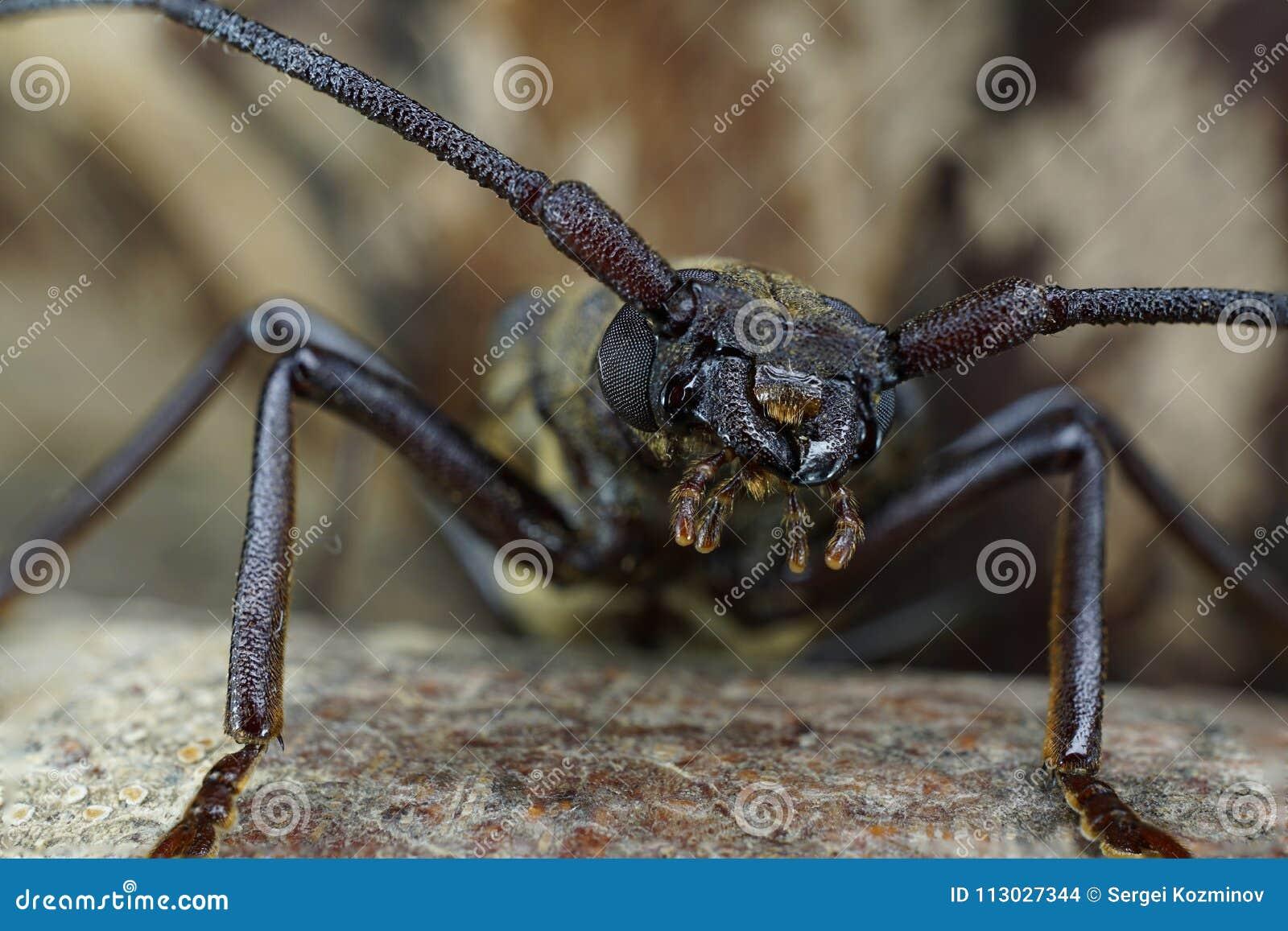 Macro del jefe del género caucásico escarabajo-barbilla Megopis
