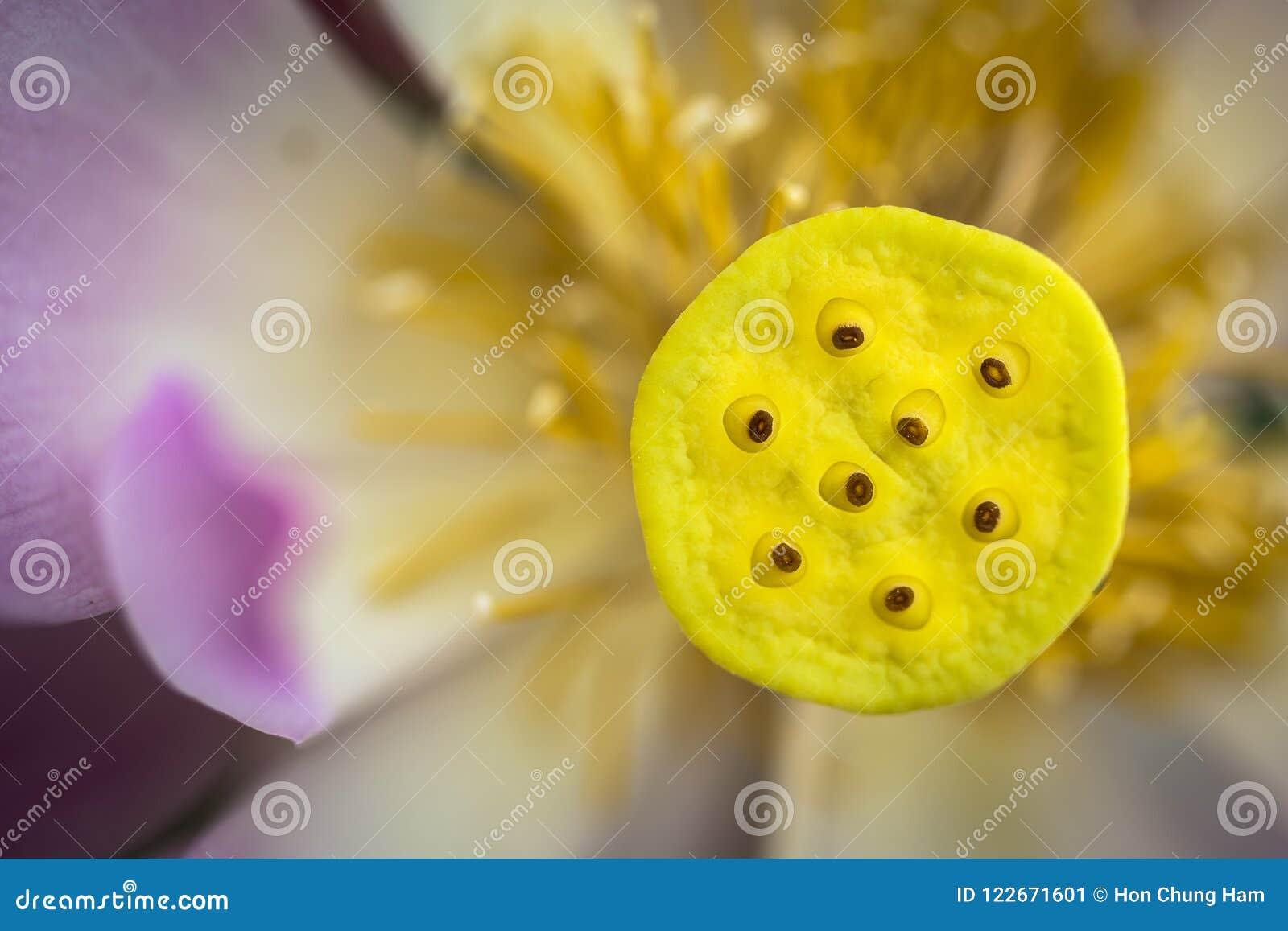 Macro del primo piano del loto rosa acquatico del petalo con il baccello giallo del seme dentro