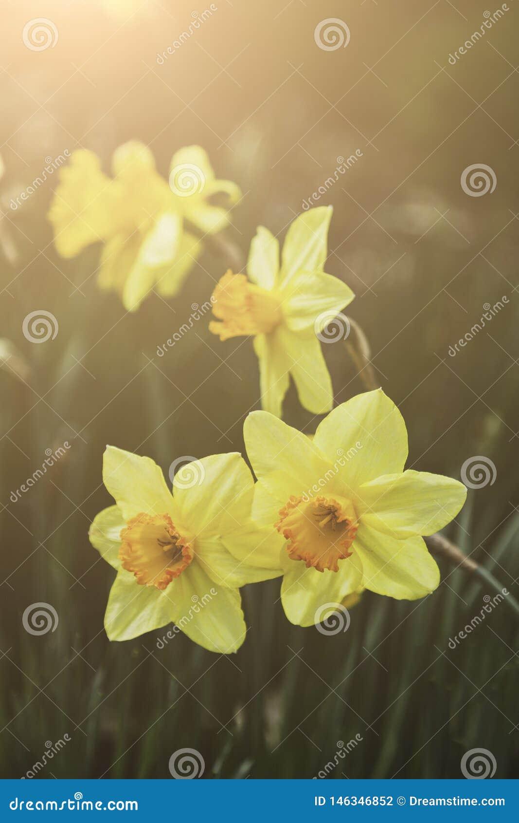 Macro del primo piano del narciso giallo del narciso della primavera e della luce solare calda Bokeh