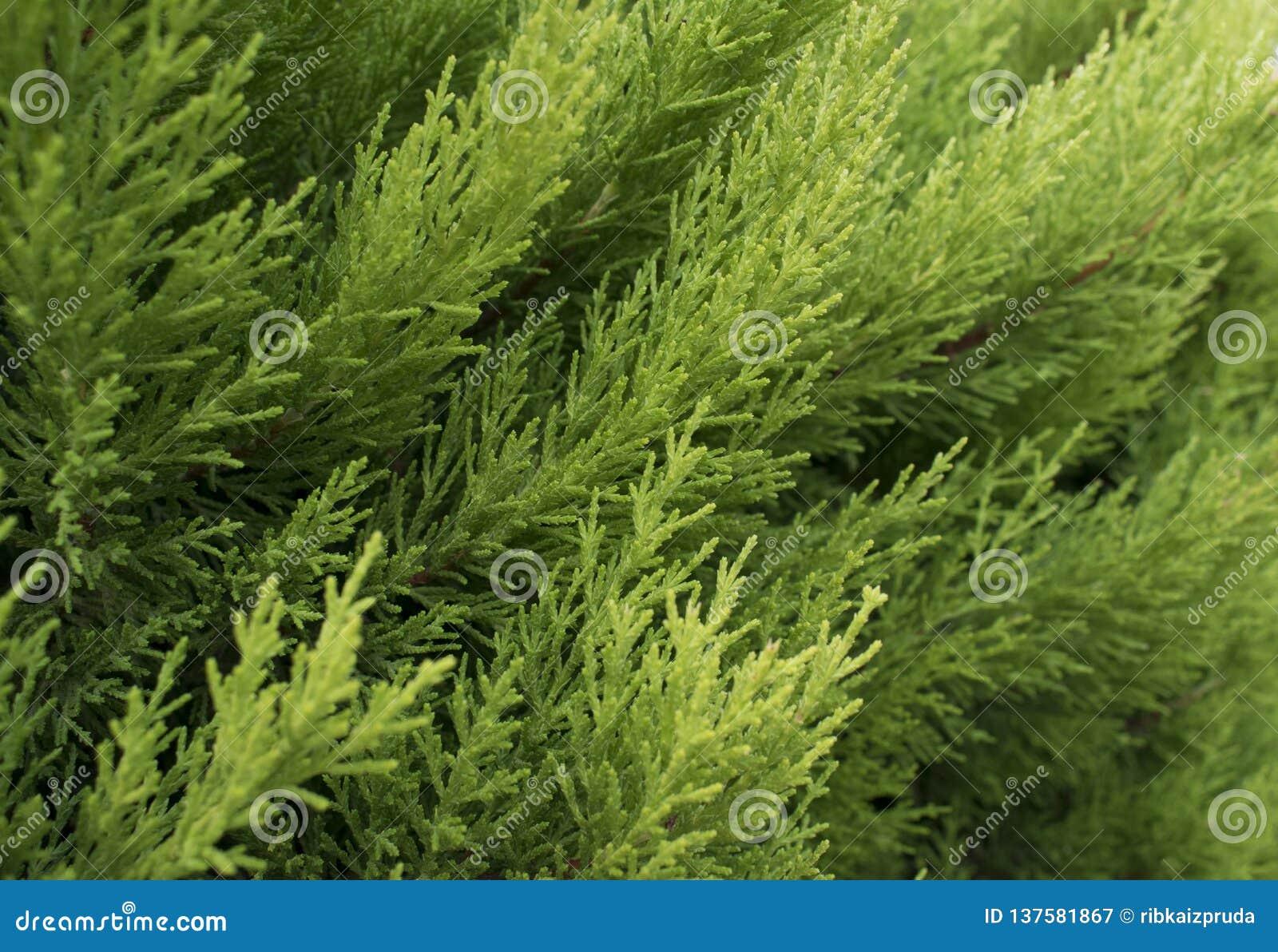 Macro des occidentalis à feuilles persistantes de Thuja de branche d arbre