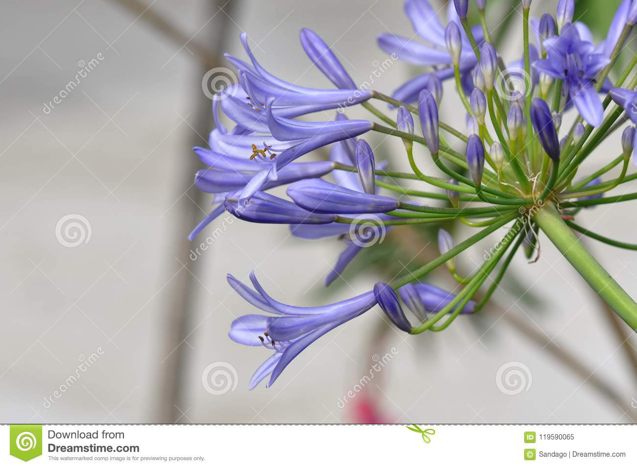 Lily of the nile flower stock image image of floral 119590065 lily of the nile flower izmirmasajfo