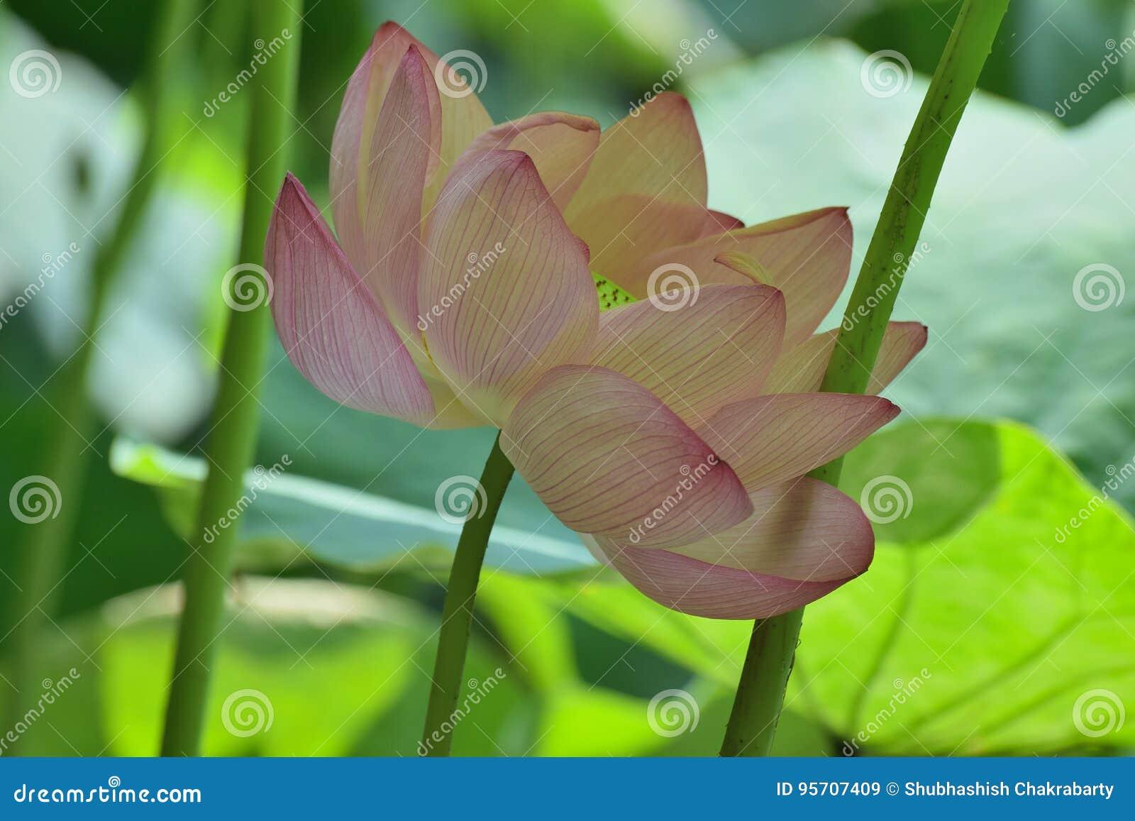 Macro Details Of Japanese Pink Lotus Flower In Horizontal Frame