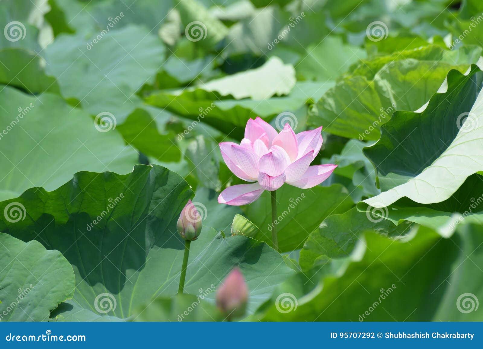 Macro details of japanese pink lotus flower horizontal frame stock download macro details of japanese pink lotus flower horizontal frame stock photo image of hachimangu mightylinksfo