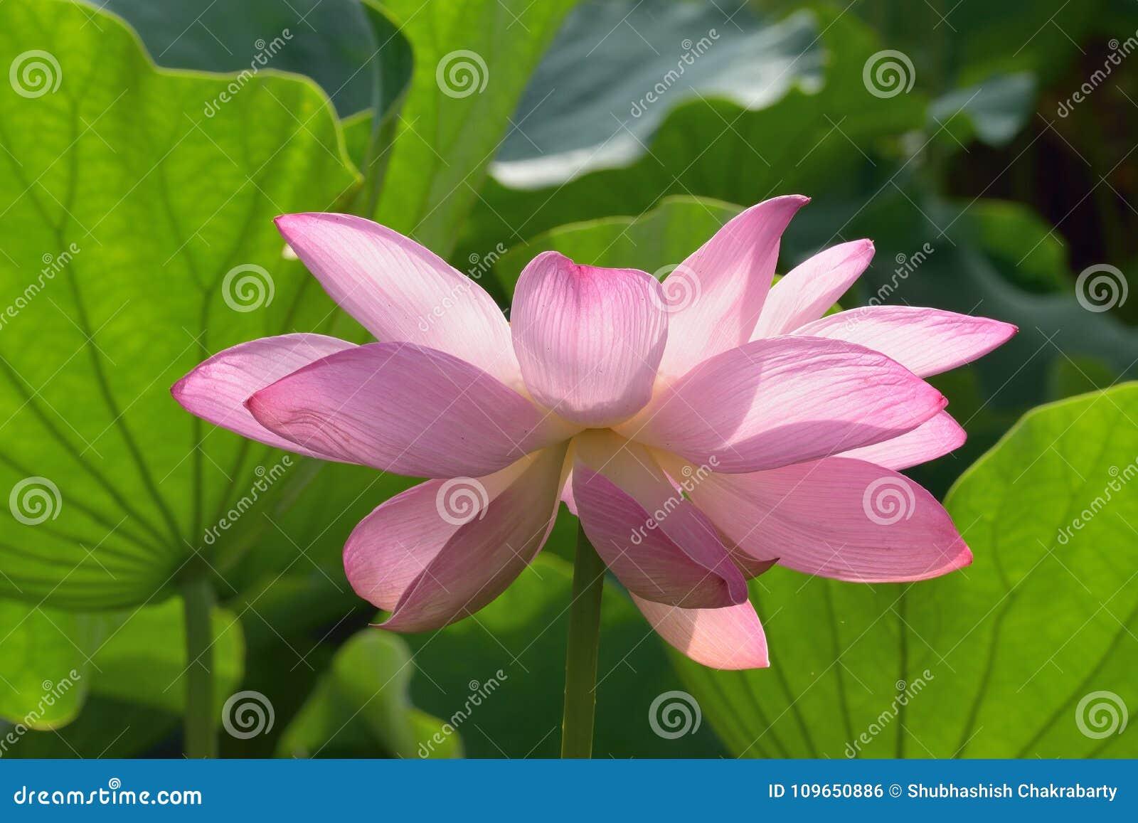 Macro details of japanese pink lotus flowers at garden stock photo download macro details of japanese pink lotus flowers at garden stock photo image of color izmirmasajfo
